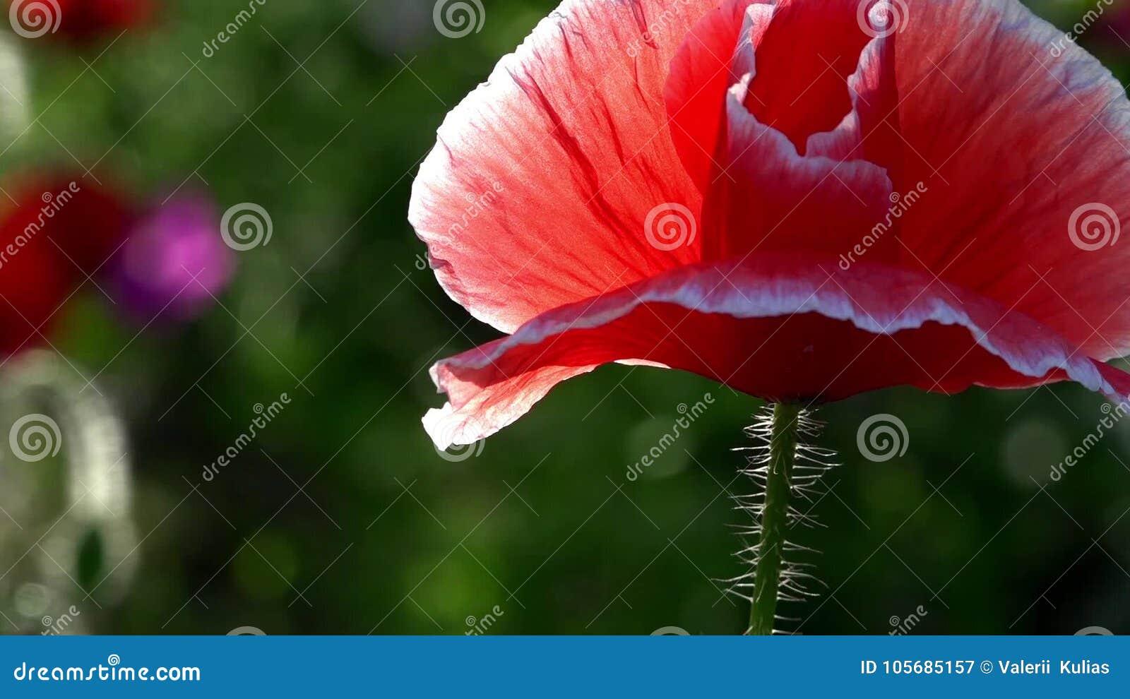 """Bräcklig delikat varelse Lilor rosa färger, vallmo för röd olik †"""" lager videofilmer"""