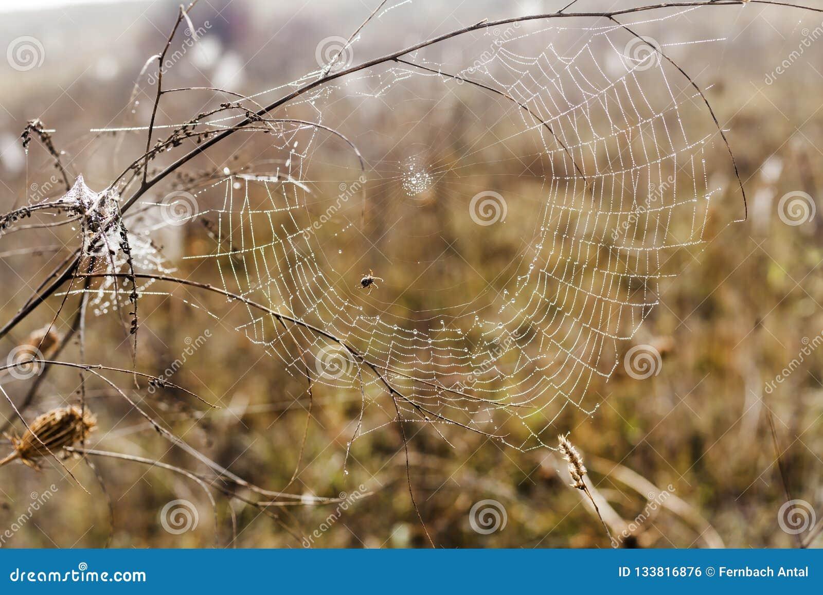 Bräcklig spindel som är netto in tidigt i en dimmig våt och kall morgon