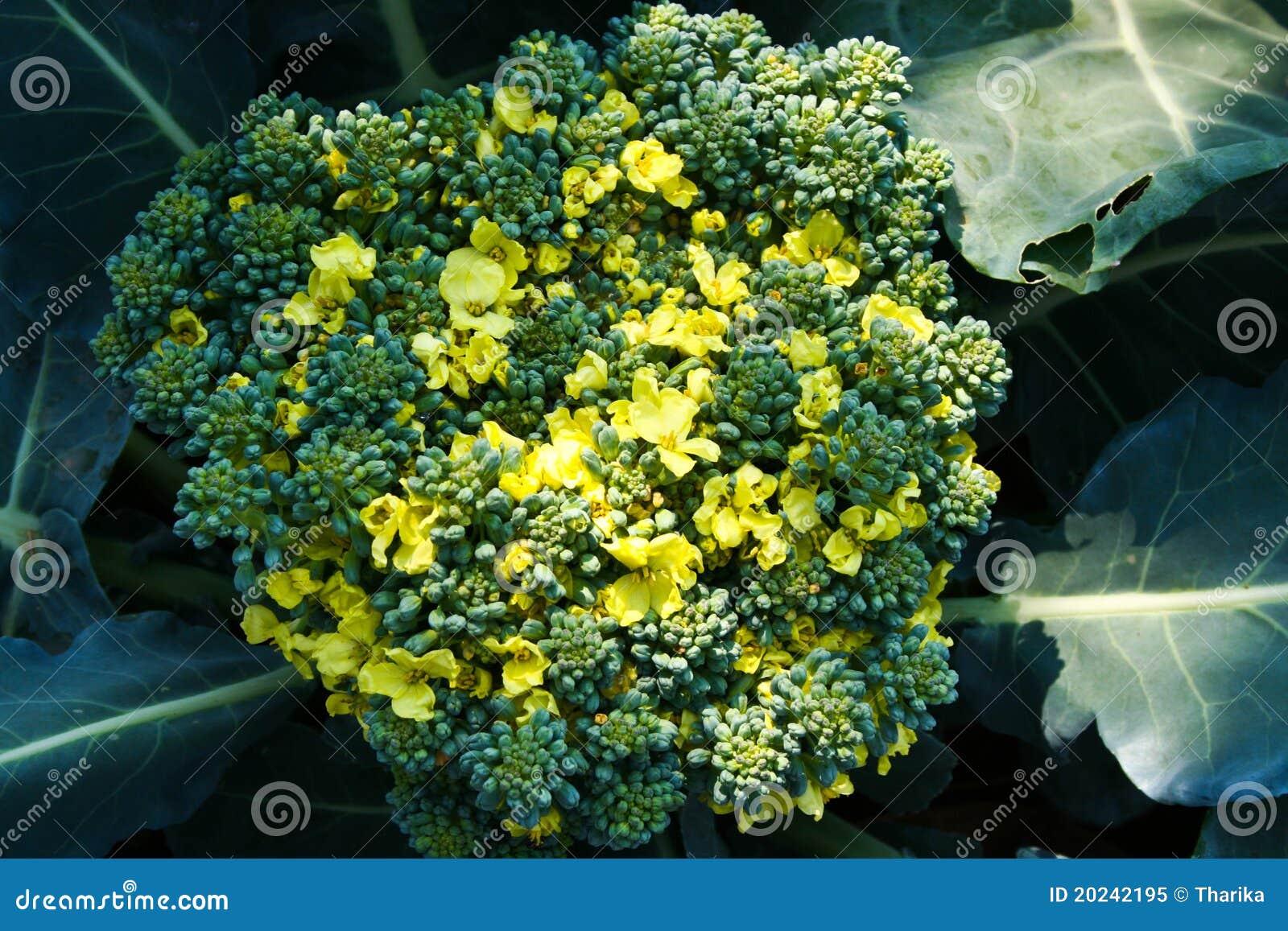 Bróculos, disambiguation, vegetais, broccolo