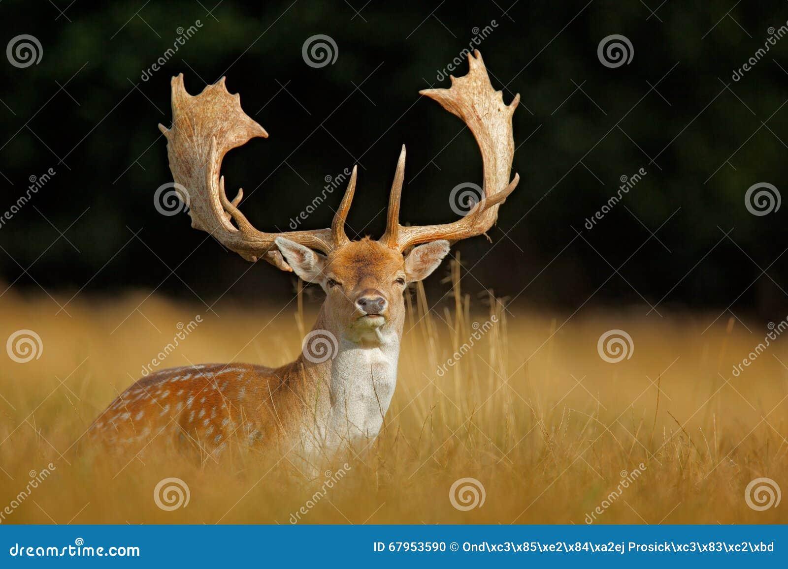 Brüllen Sie majestätische starke erwachsene Damhirsche, Dama Dama, im Herbstwald, Dyrehave, Dänemark