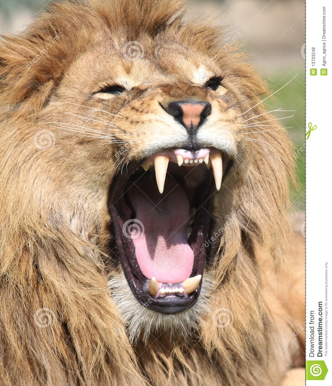 angry lion photos hd