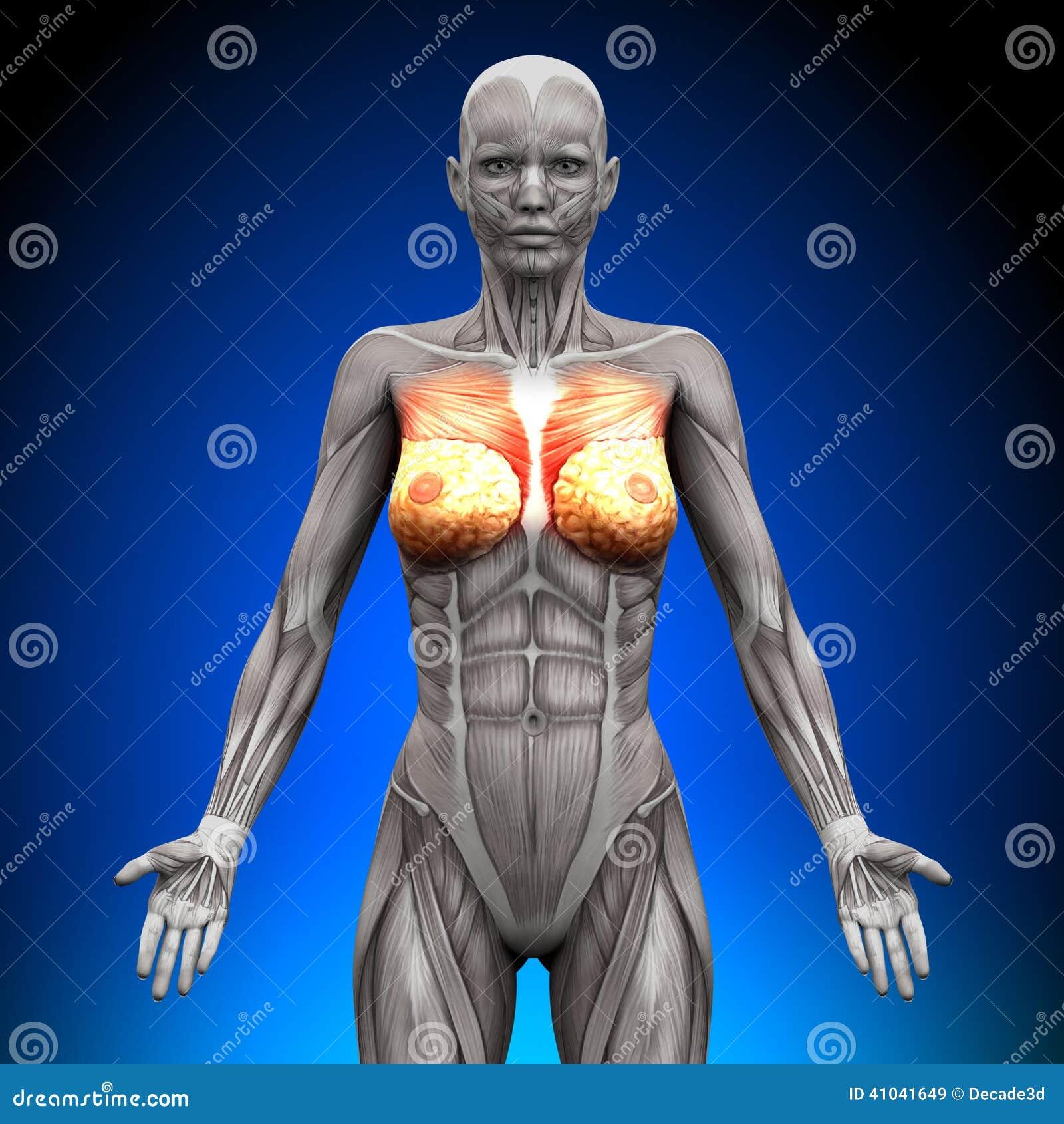 Brüste - Weibliche Anatomie-Muskeln Stock Abbildung - Illustration ...