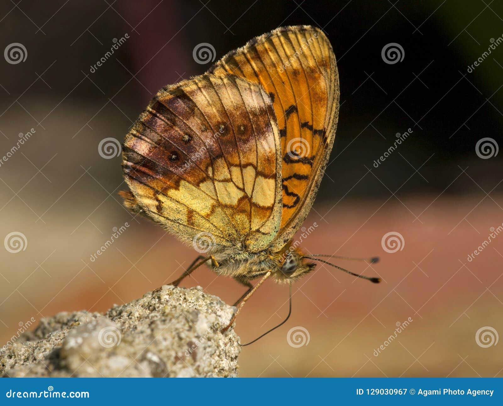 Braamparelmoervlinder, Fritillary veteado, daphne de Brenthis