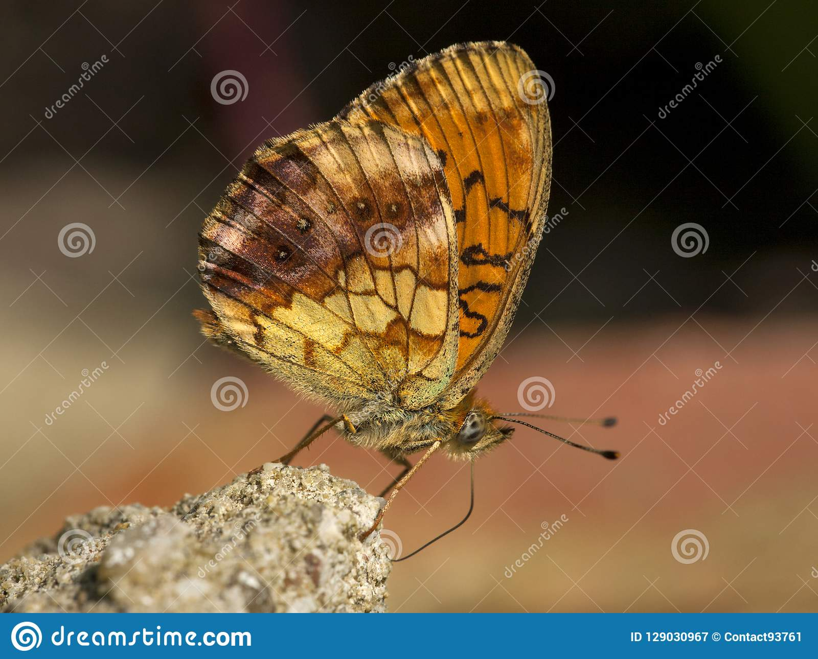 Braamparelmoervlinder, Marbled Fritillary, Brenthis daphne