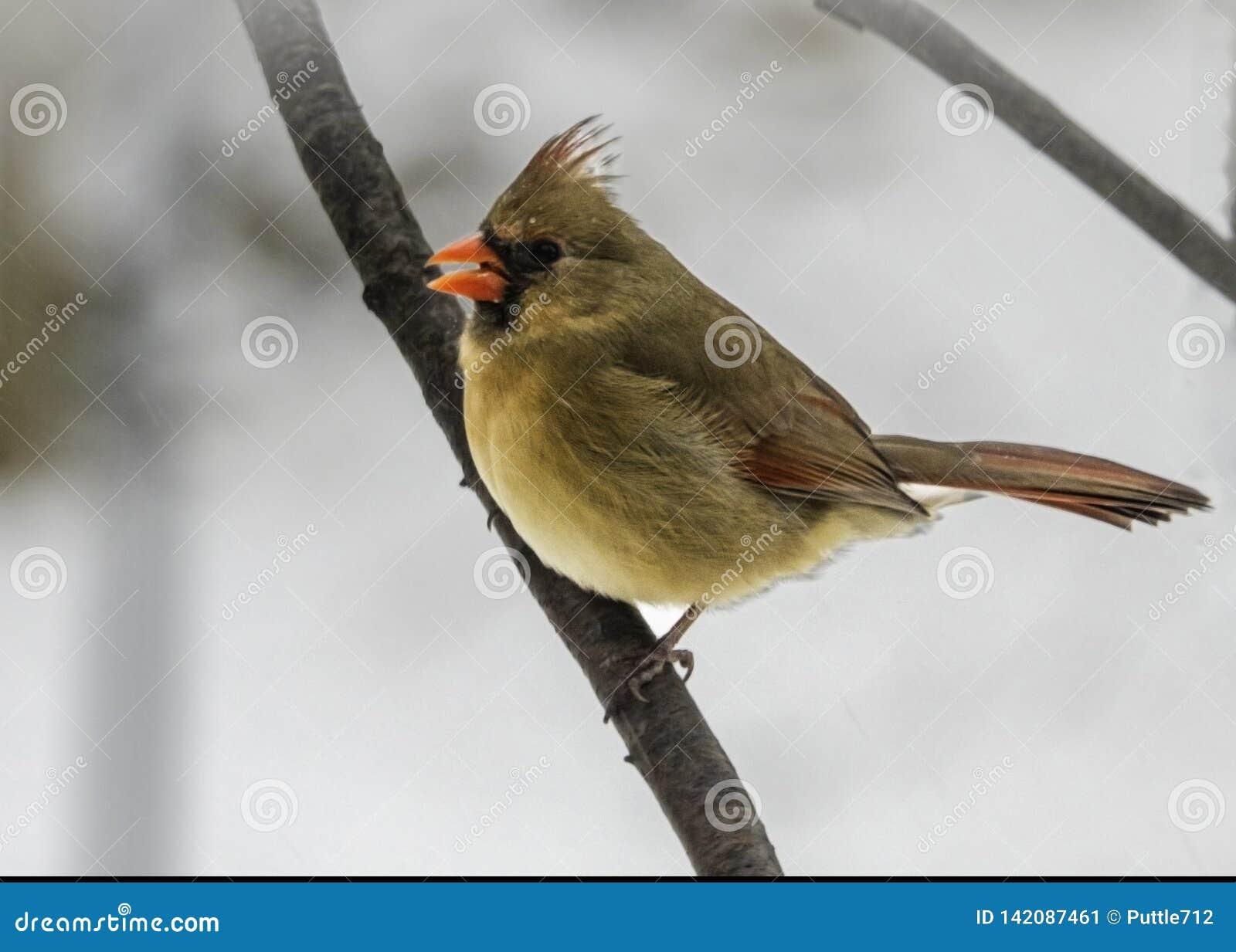 Braces Itself Against cardinal féminin la neige