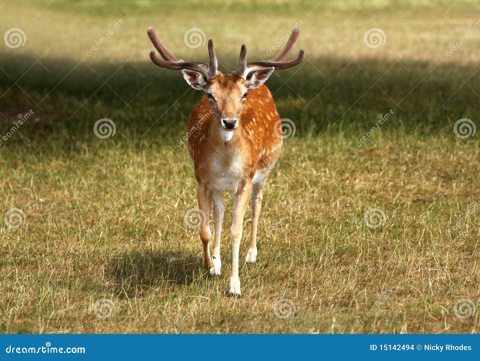 Brache-Rotwild-Hirsch, der in Richtung zur Kamera geht