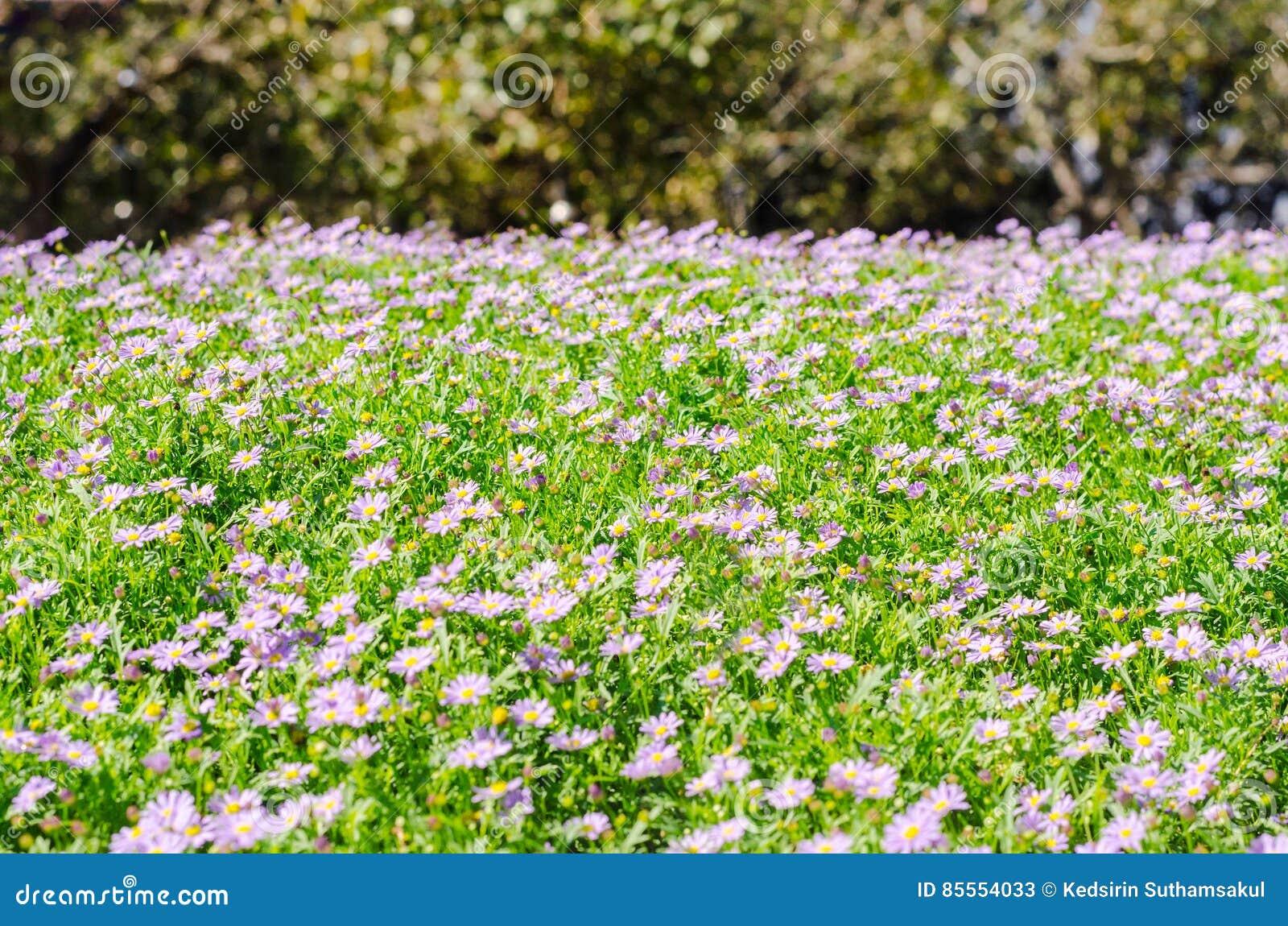 Brachycomeblumengruppe und Hintergrund des grünen Grases