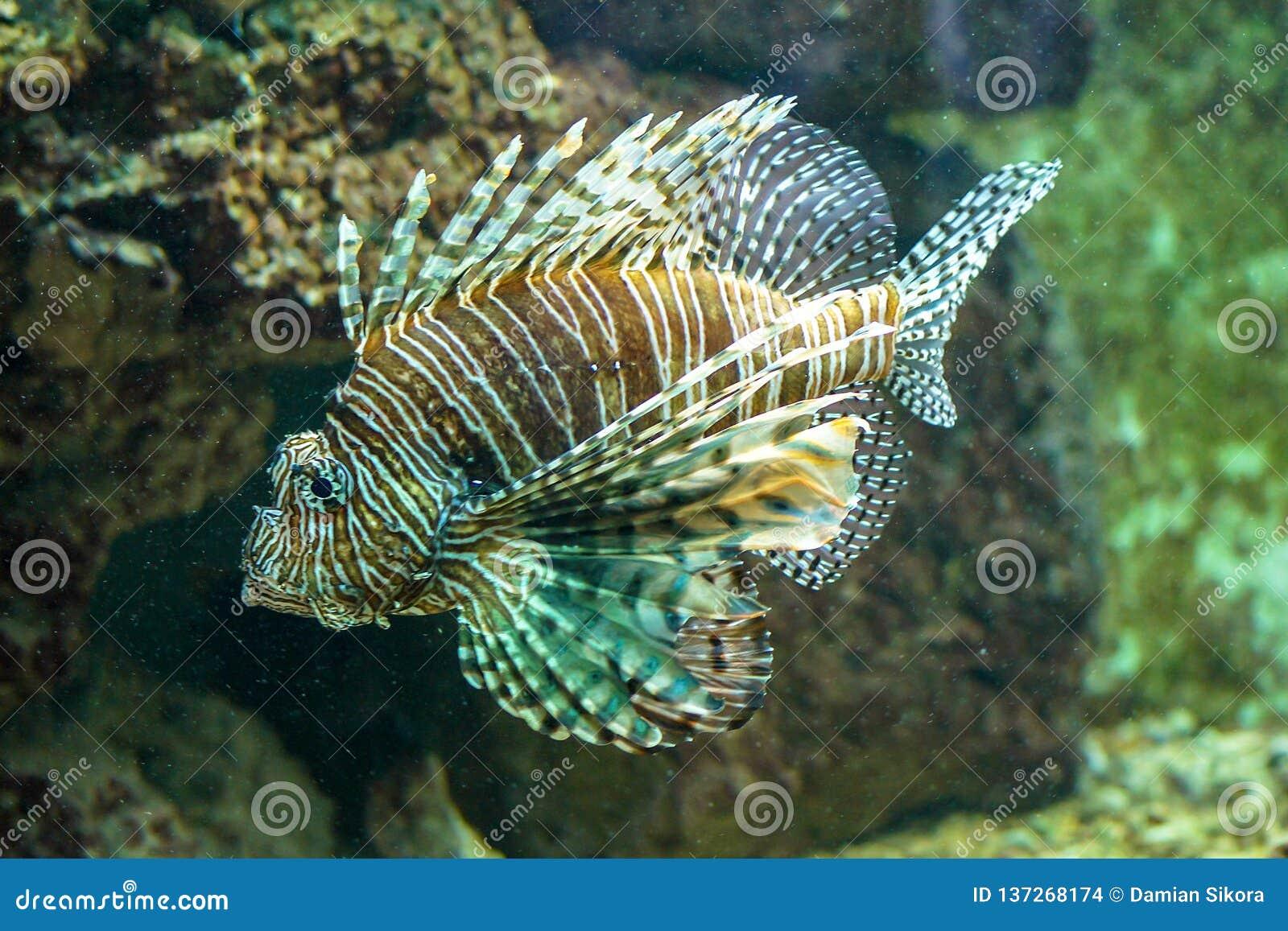 Brachypterus de Dendrochirus turkeyfish del shortfin, pescados enanos del lionfish