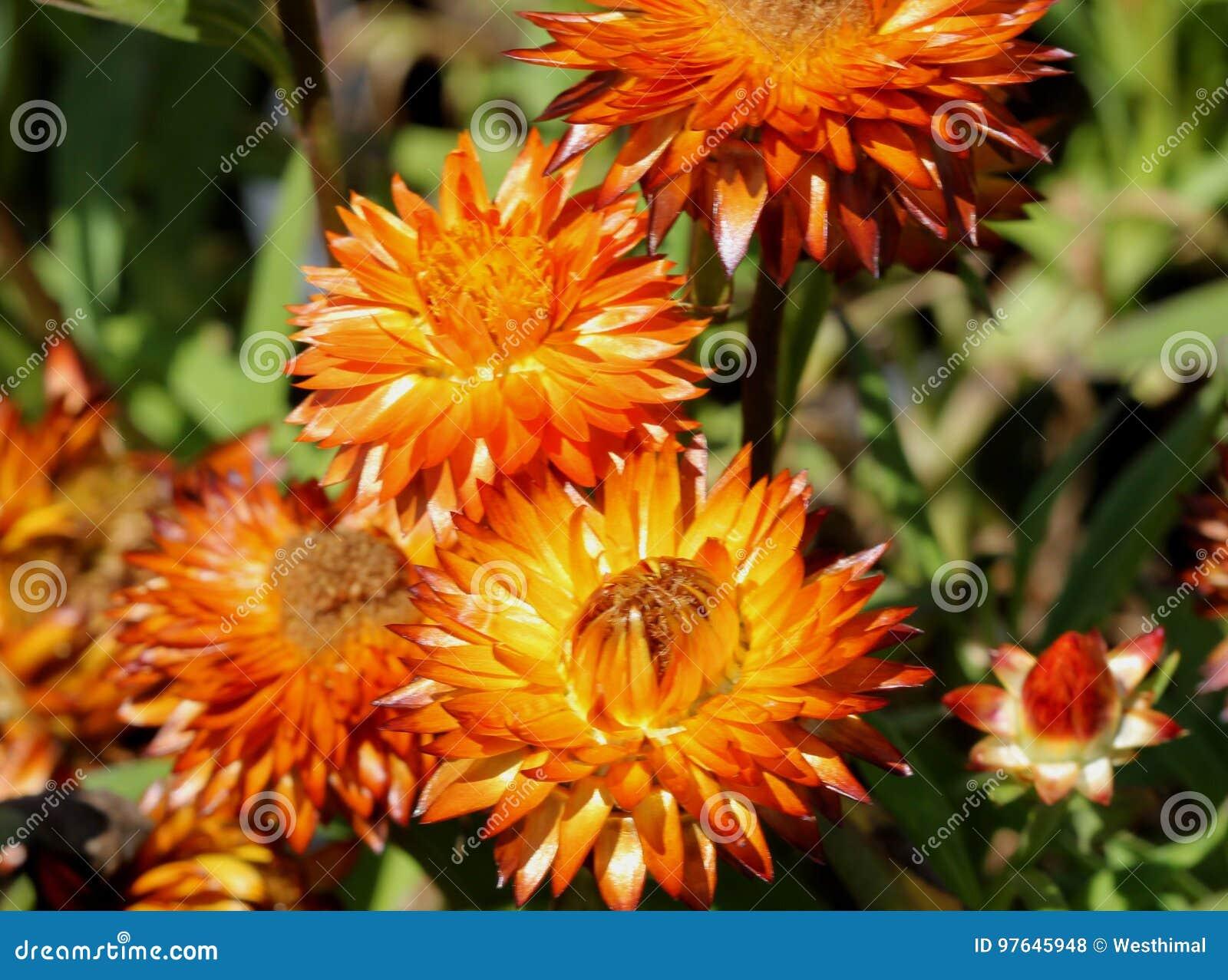 Bracteantha Bracteata Mohave Orange Stock Photo Image Of Mohave