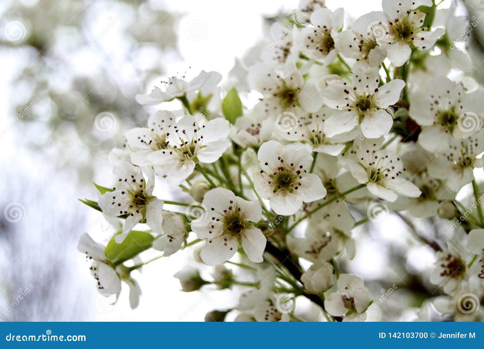 Bradford päronträd i blom