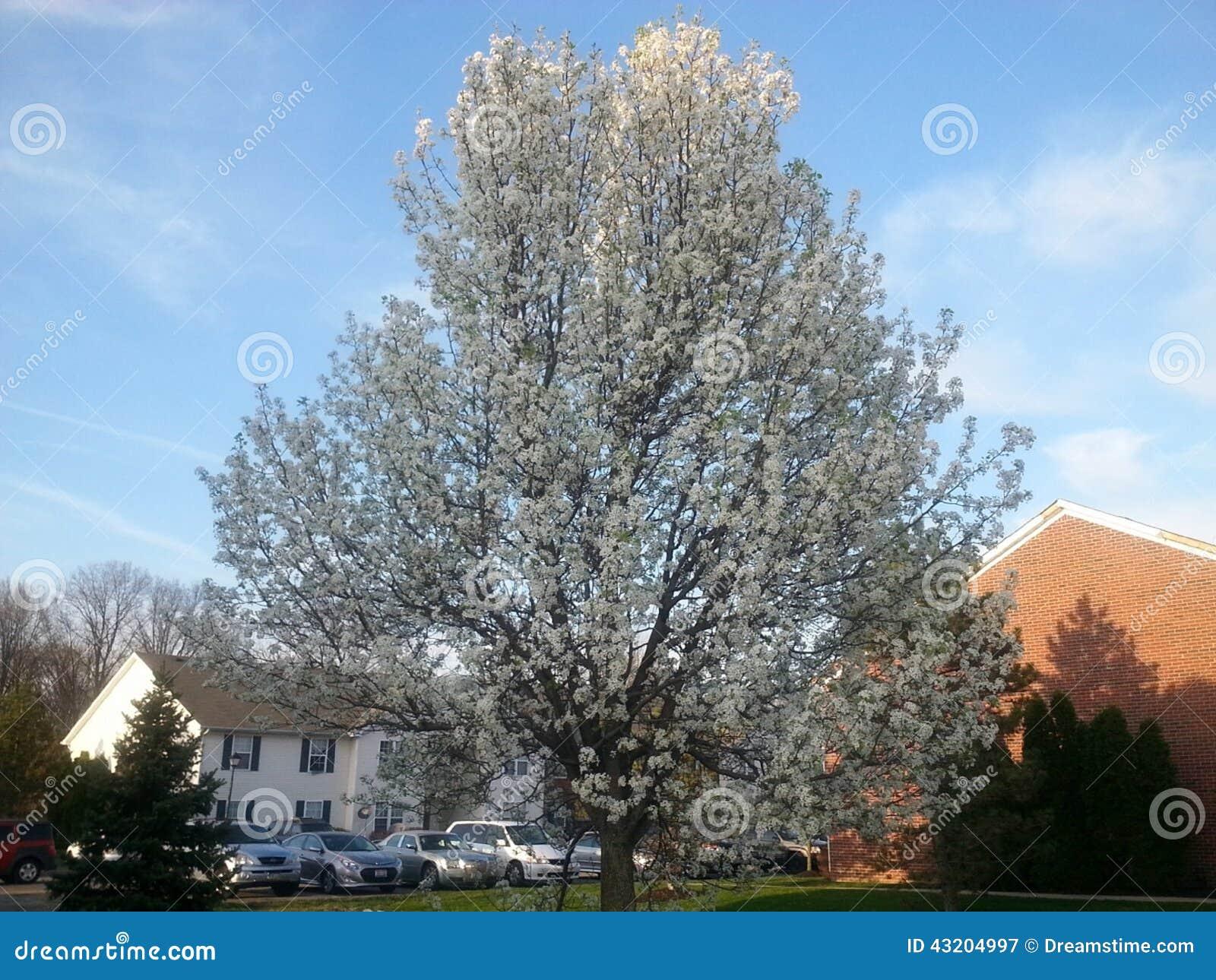 Download Bradford Pear Tree fotografering för bildbyråer. Bild av gemenskap - 43204997