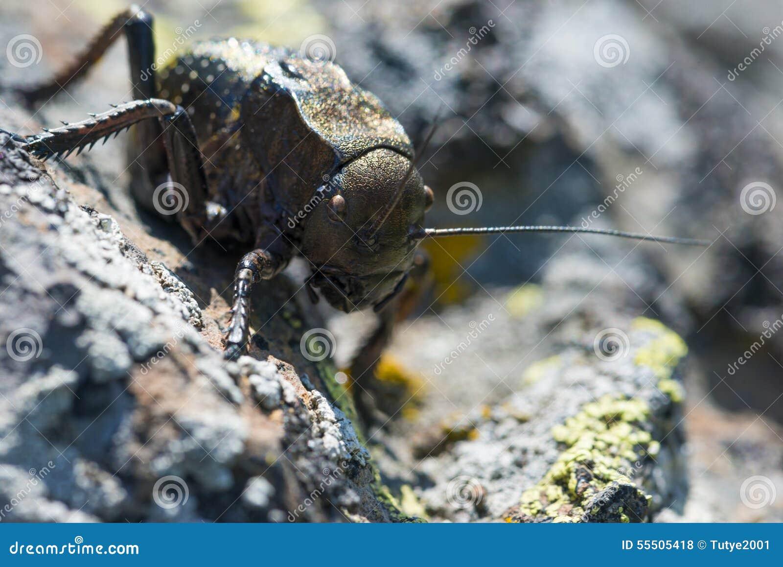 Bradyporus dasypus in natural background .