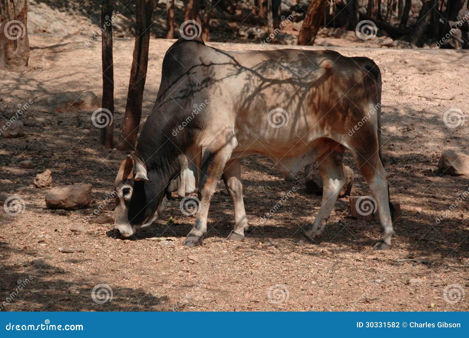 Brahma母牛