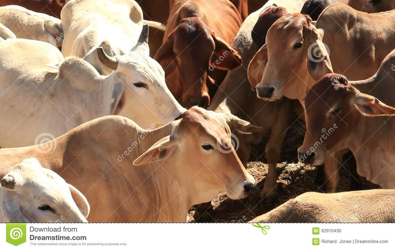 Brahman Beef Cattle Cow Livestock In Sale Yard Pens Waiting For Live Export  Stock Footage Video 7439089 | Shutterstock