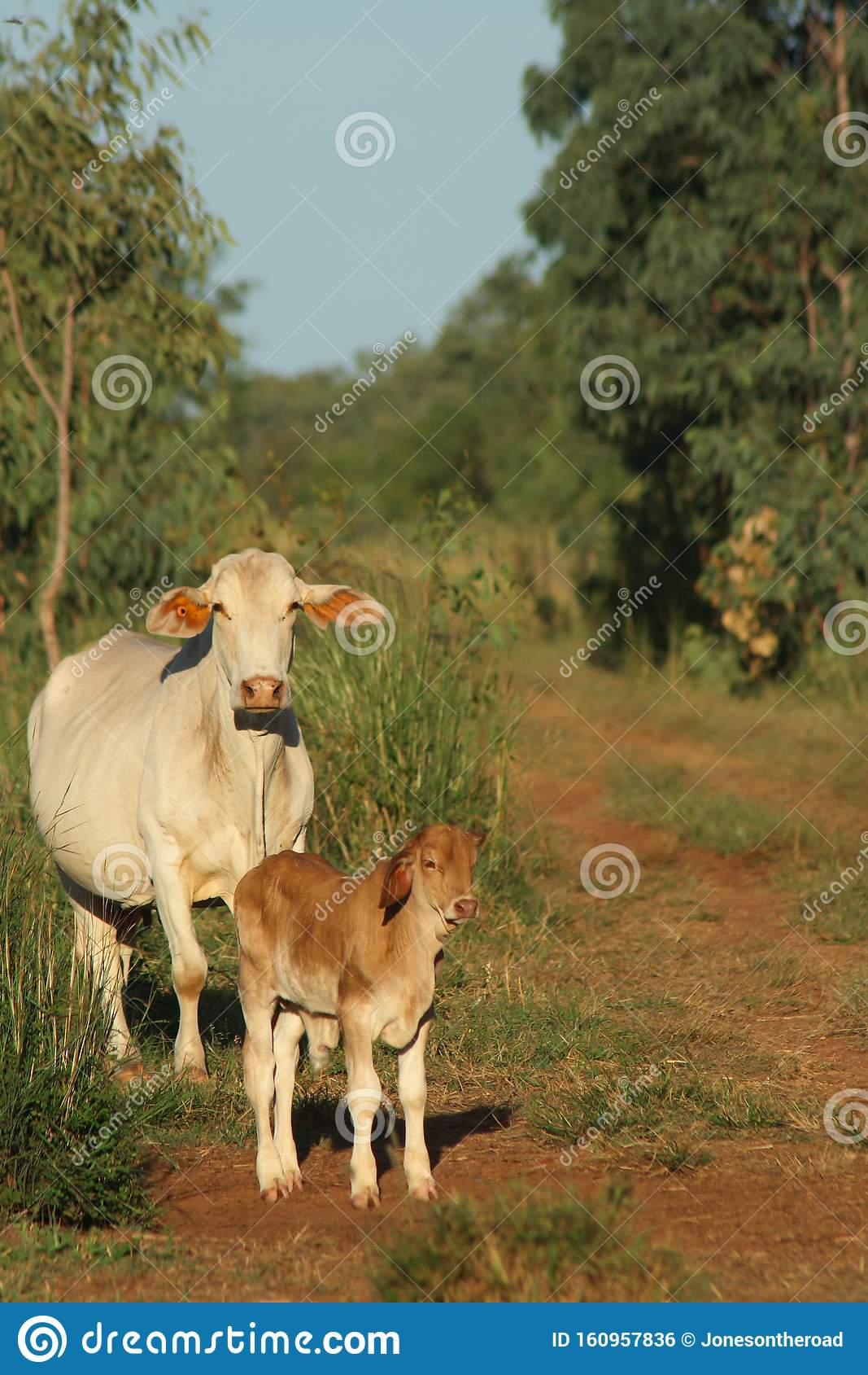 Brahman Cattle Femal With Calf On Cattle Farm Stock Photo ...