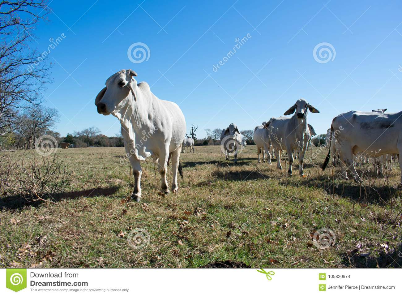 Brahman Cow Herd Stock Photo Image Of Green Group 105820974