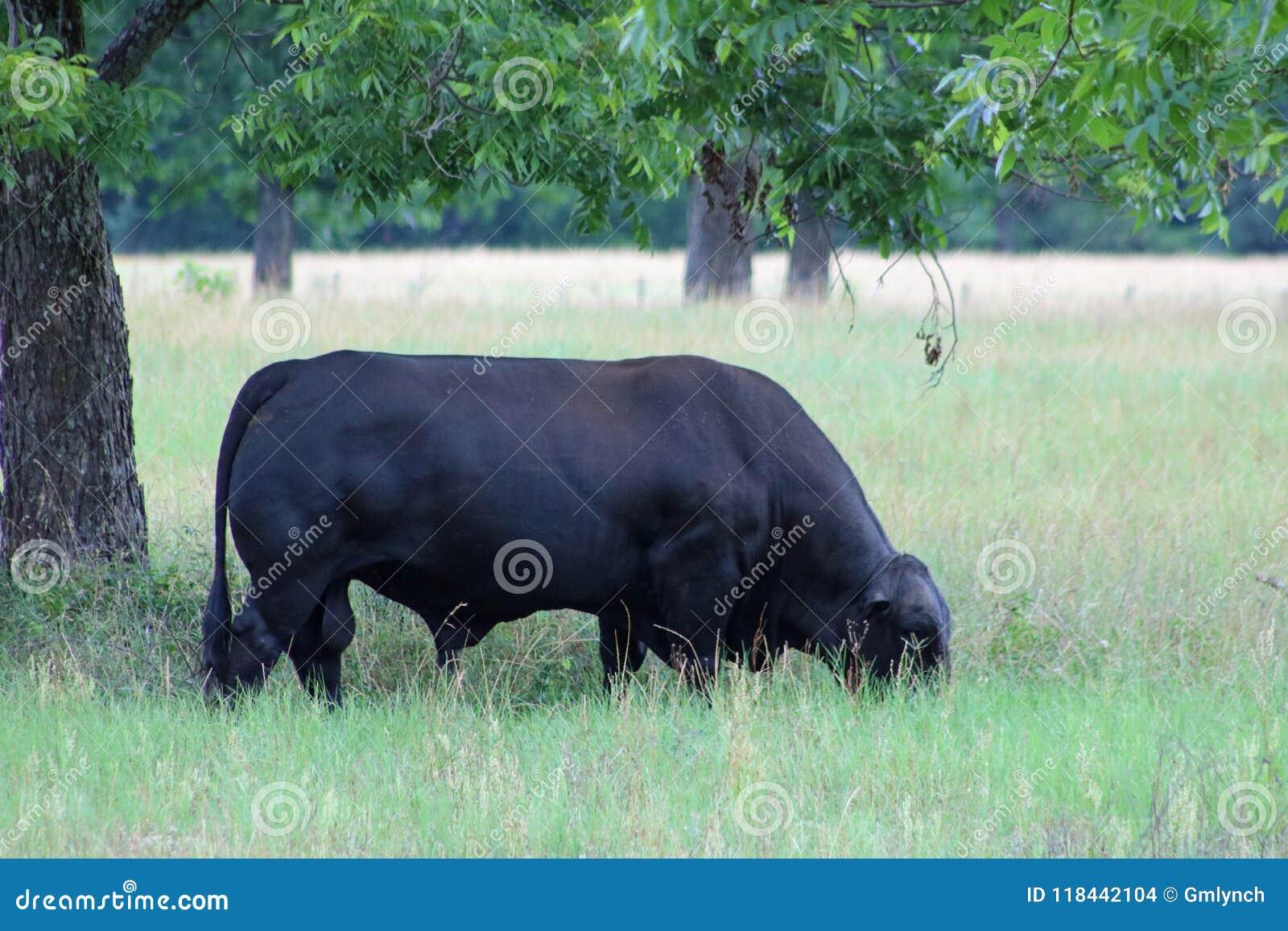 Brahman de angus do touro de Brangus que pasta