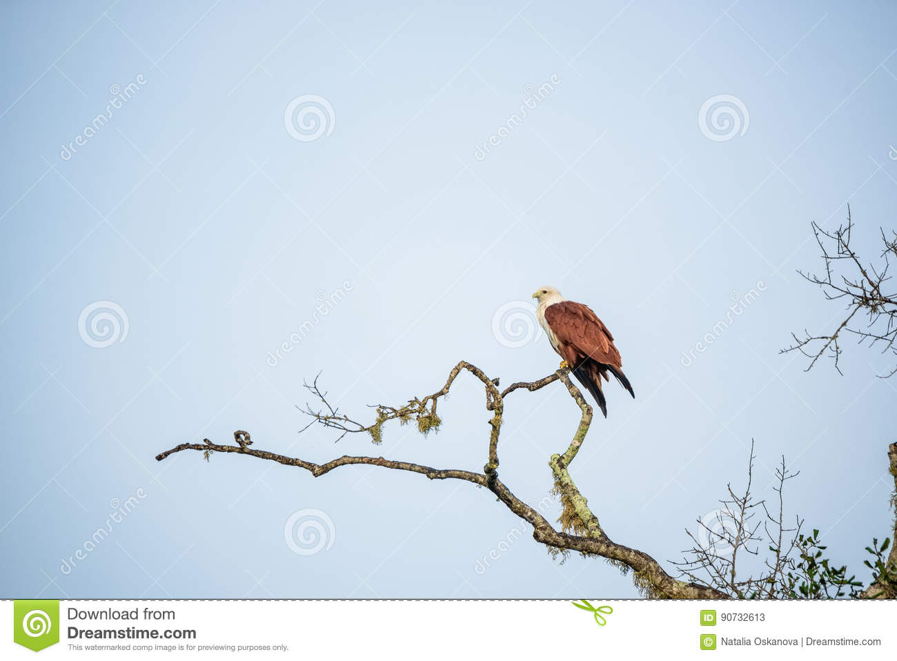 Brahminy Kite or Haliastur indus sits on branch