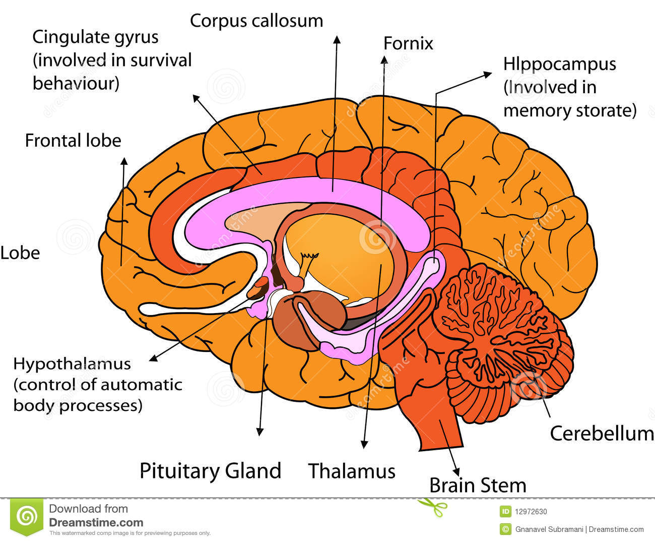 Stock Photo Brain Image12972630 on endocrine female cycle