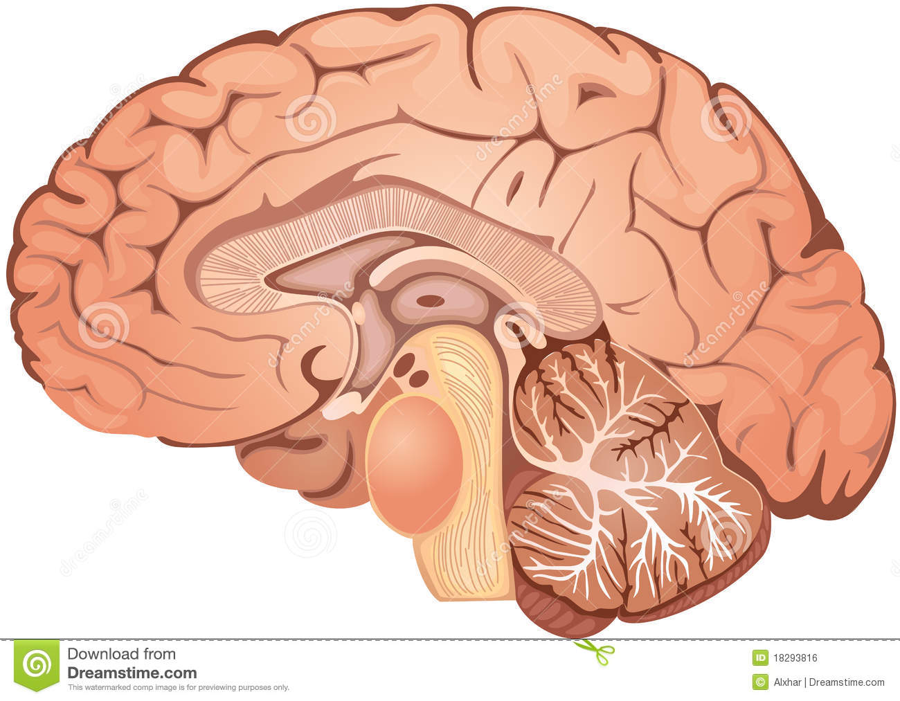 Brain Stock Vector Illustration Of Spinal Section Thalamus 18293816