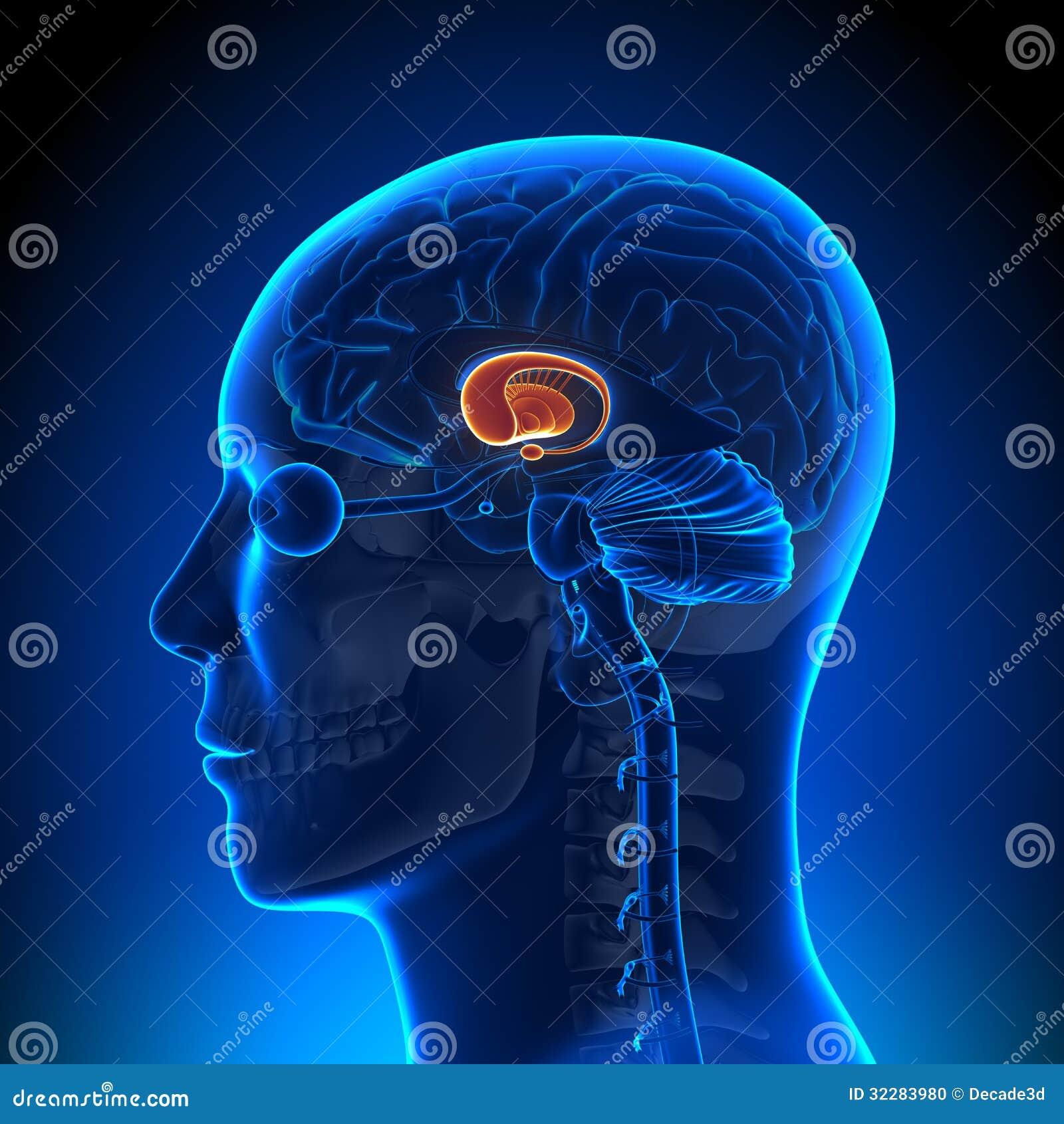 Brain Anatomy - Basal Ganglia Stock Illustration - Illustration of ...