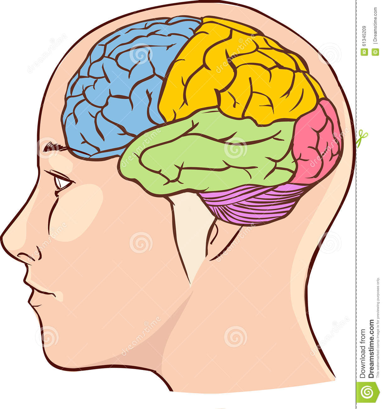 Brain Anatomy Diagram With Sectioned In Different Colours Stock