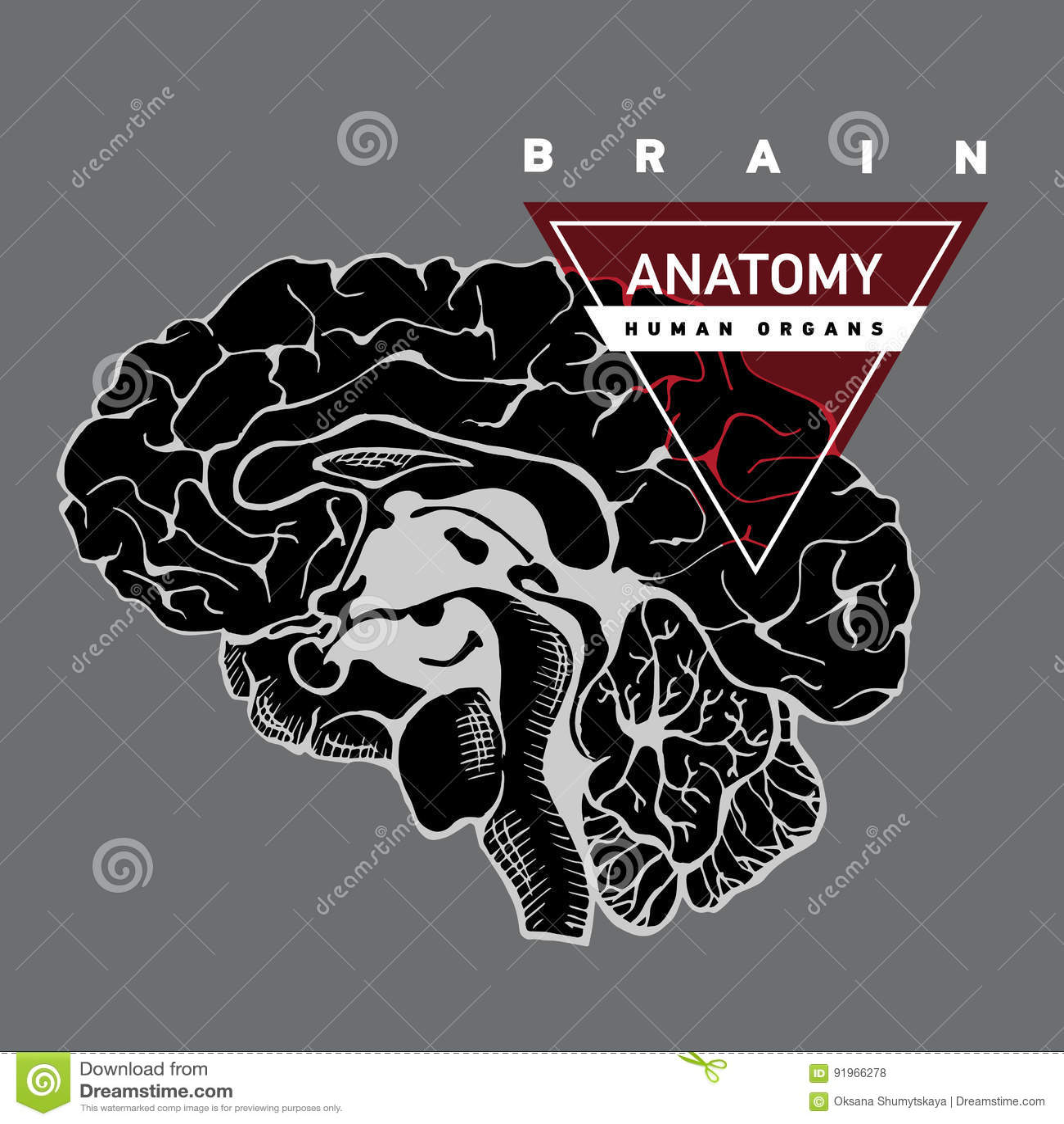 Brain anatomy. Human stock vector. Illustration of cerebrum - 91966278