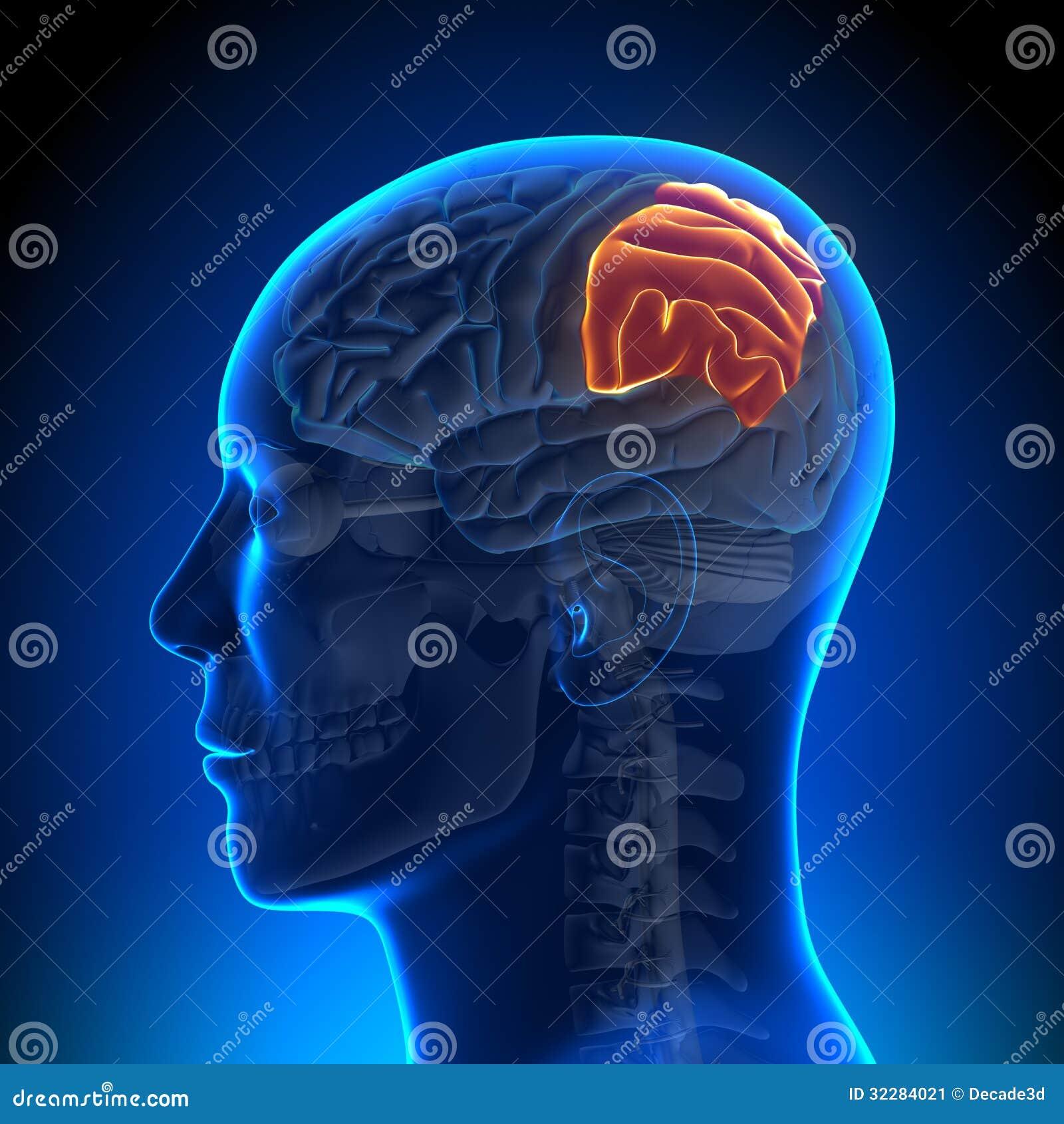 Brain Anatomy - Lóbulo Parietal Stock de ilustración - Ilustración ...