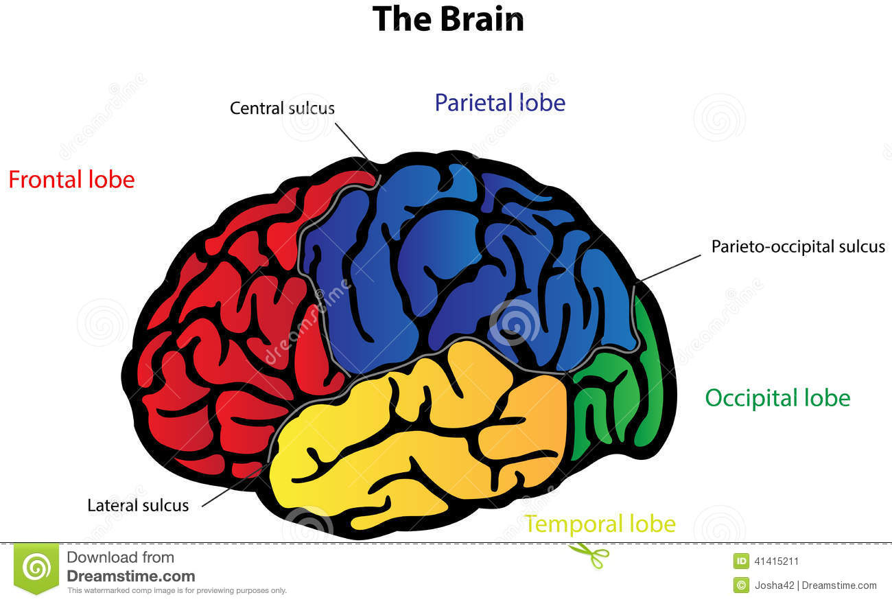brain anatomy labeled diagram