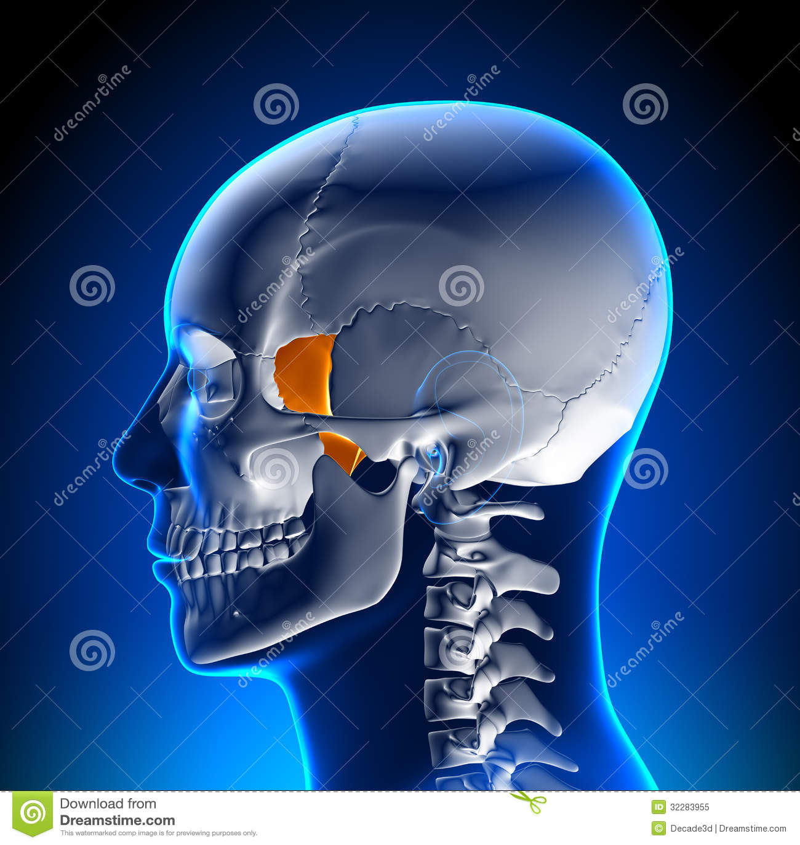 Brain Anatomy Lacrimal Bone Stock Illustration Illustration Of