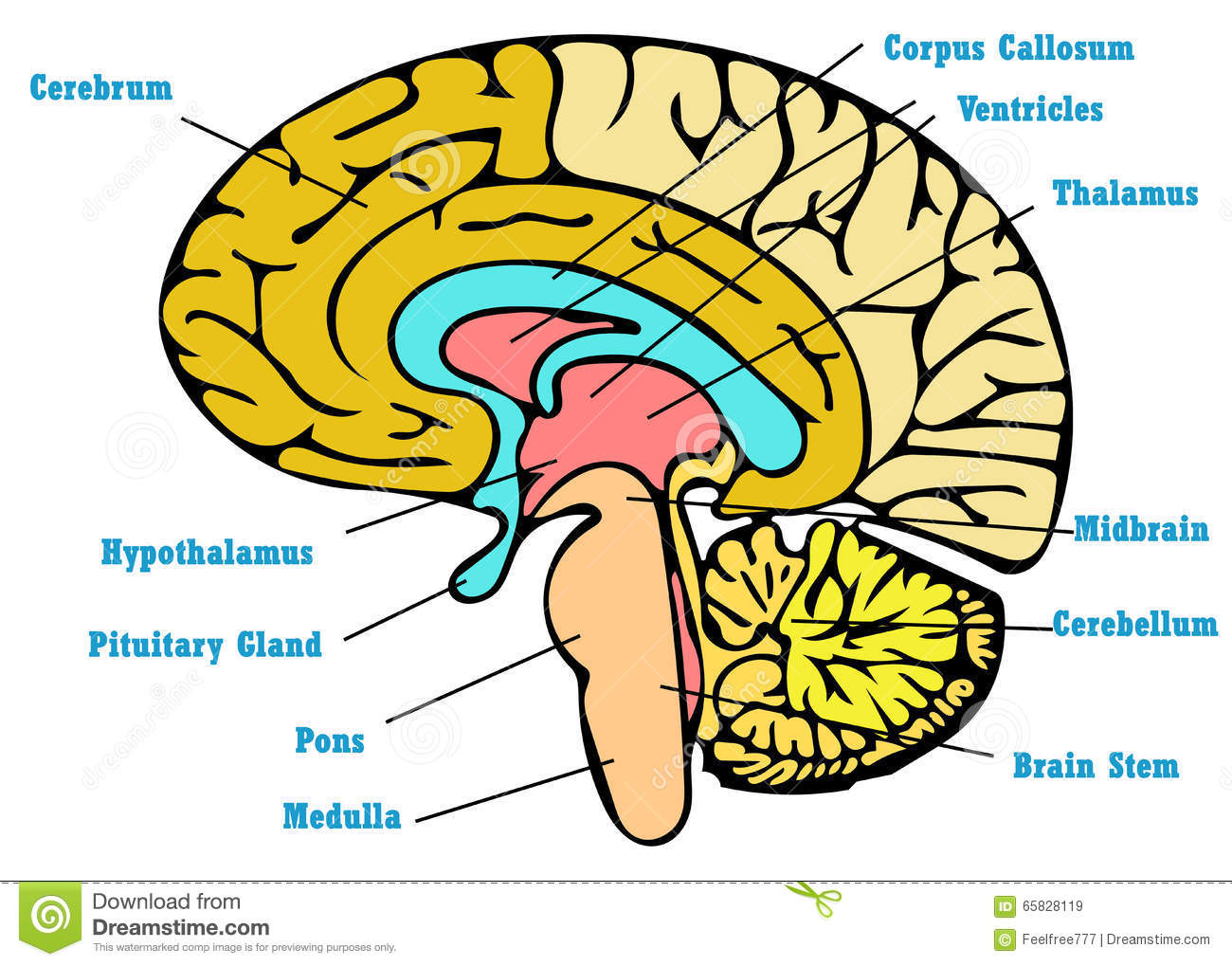 Brain Anatomy Scheme Stock Illustration. Illustration Of