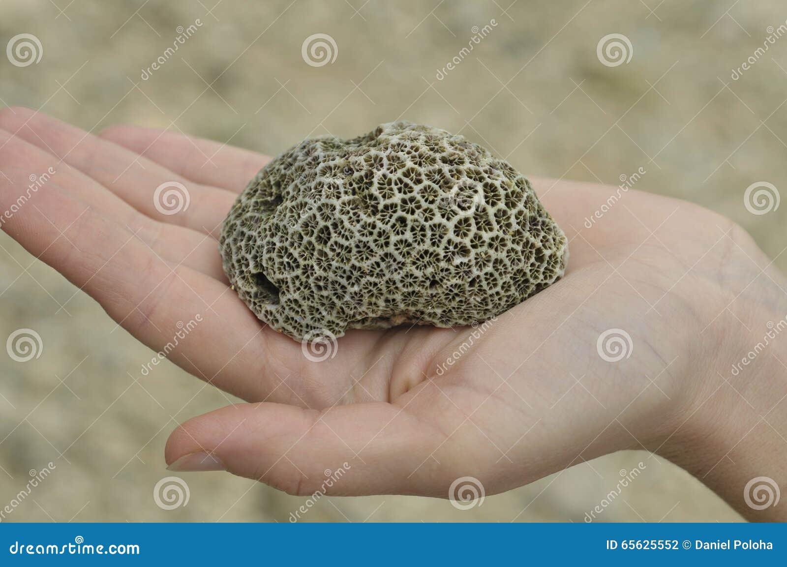Brain Coral à disposition
