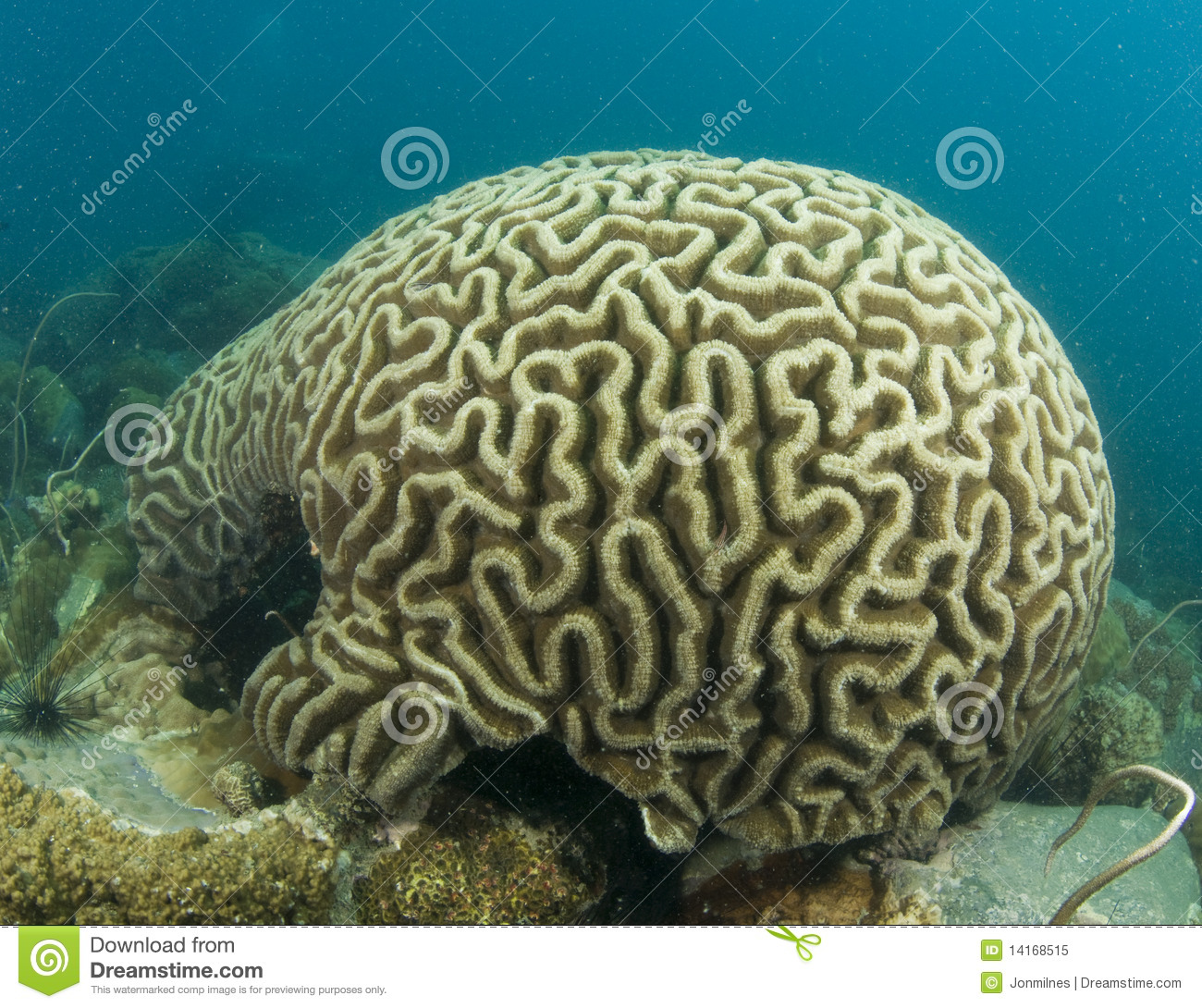 Brain Coral Royalty Free Stock Photo Image 14168515