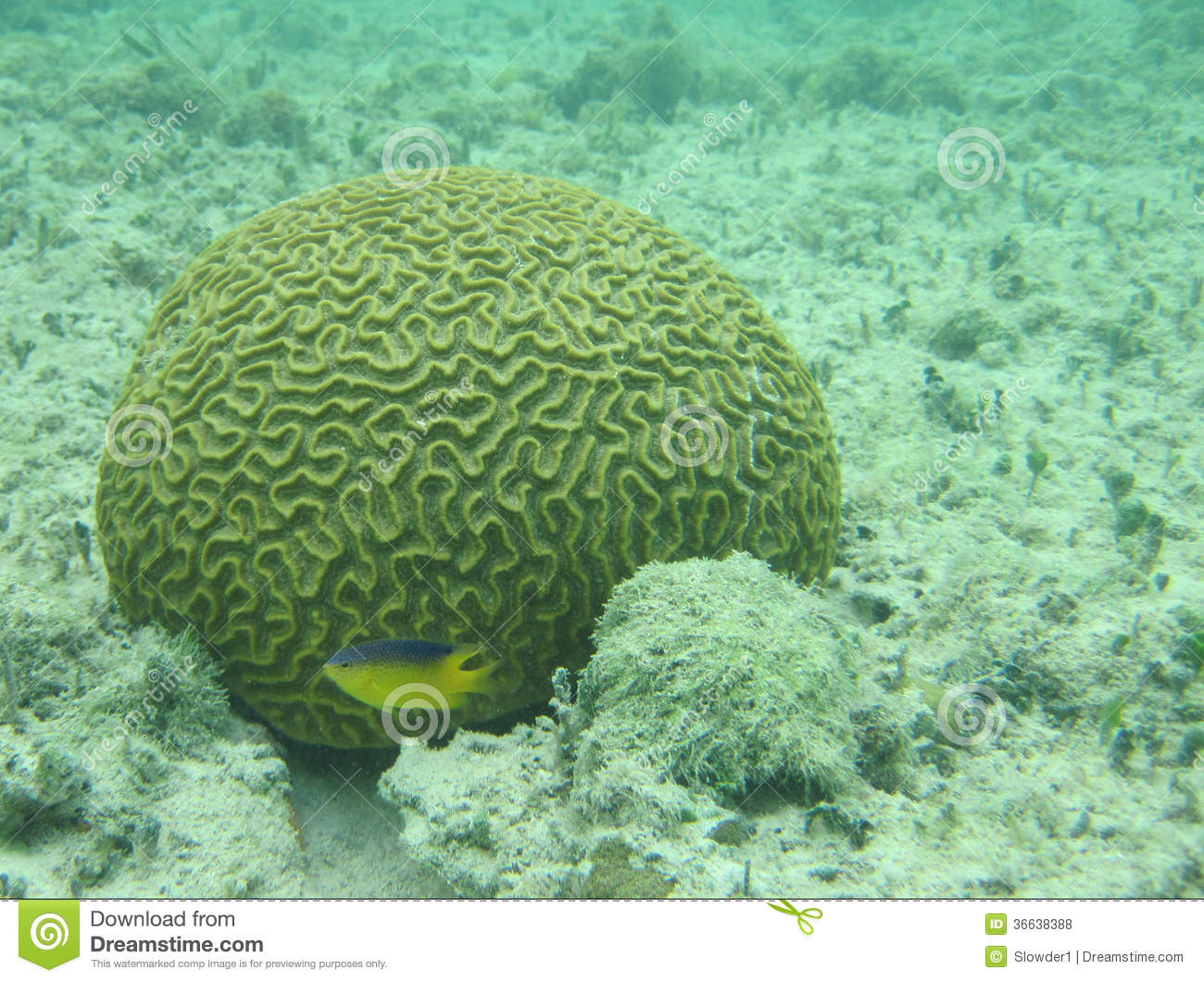Brain coral and small fish royalty free stock photos for Small tropical fish