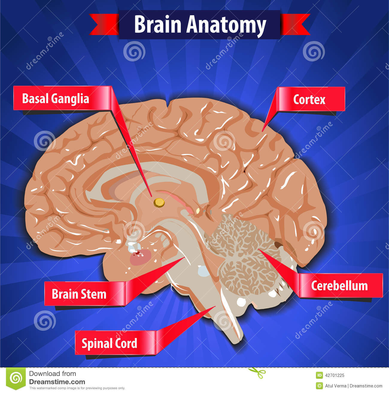Ganglia  Cortex  Brain Stem  Cerebellum and Spinal Cord- vector eps10Brainstem And Spinal Cord