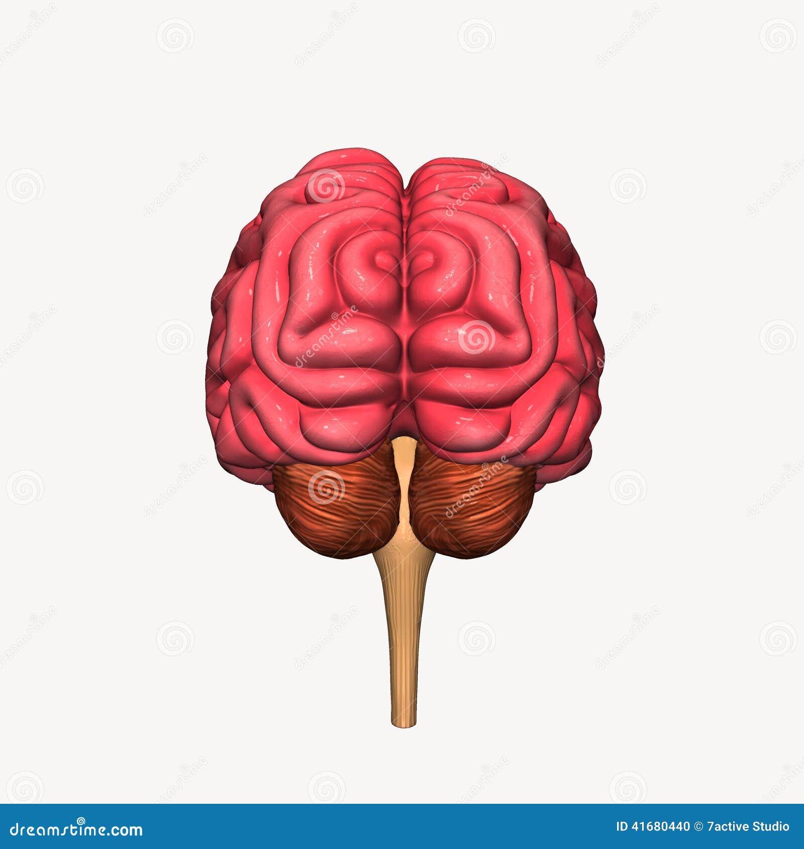 Brain Stock Illustration Illustration Of Isolated Anatomy 41680440
