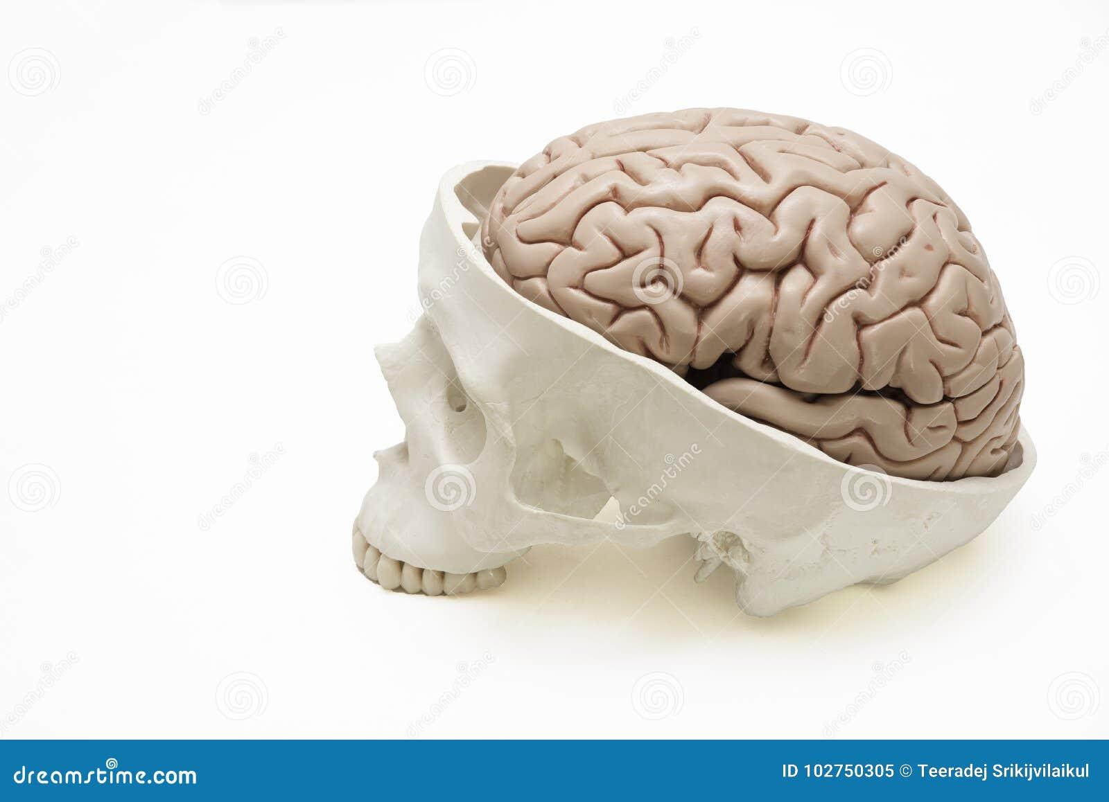 Brain Model Inside Skull On White Background Stock Image - Image of ...