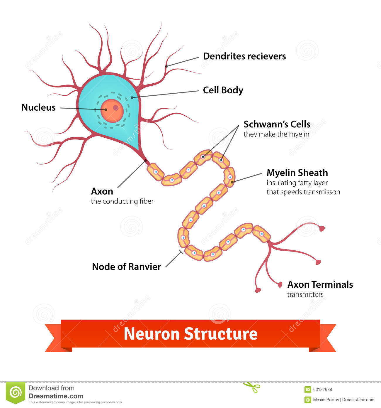 Brain Neuron Cell Diagram Stock Vector Image Of Nerve