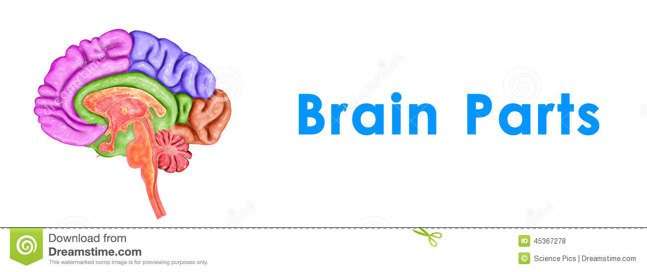 parts of brain stock vector - image: 82709486, Human Body
