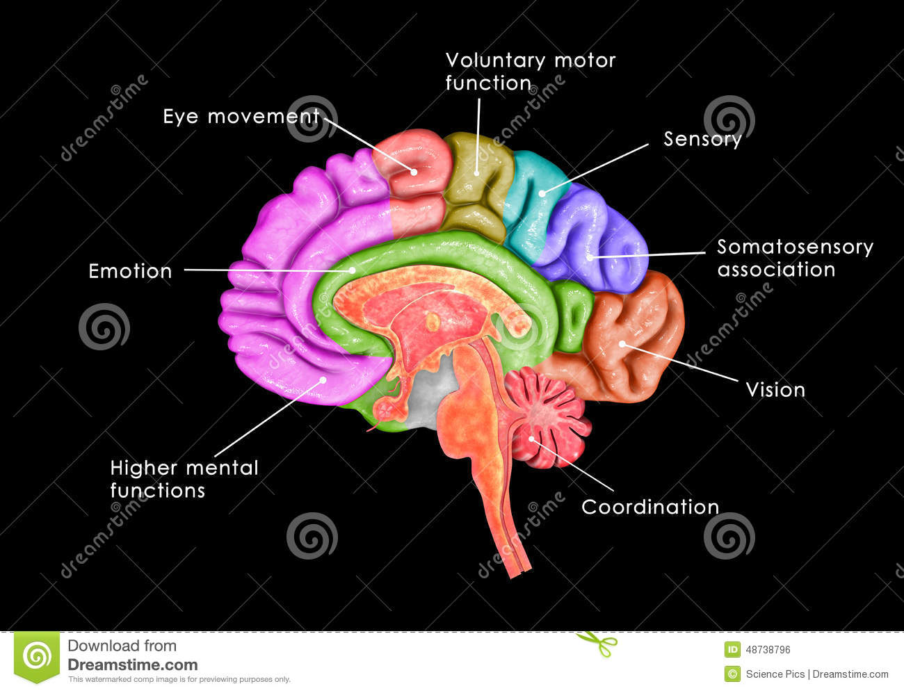 Basic Parts of the Brain  Part 1  3D Anatomy Tutorial