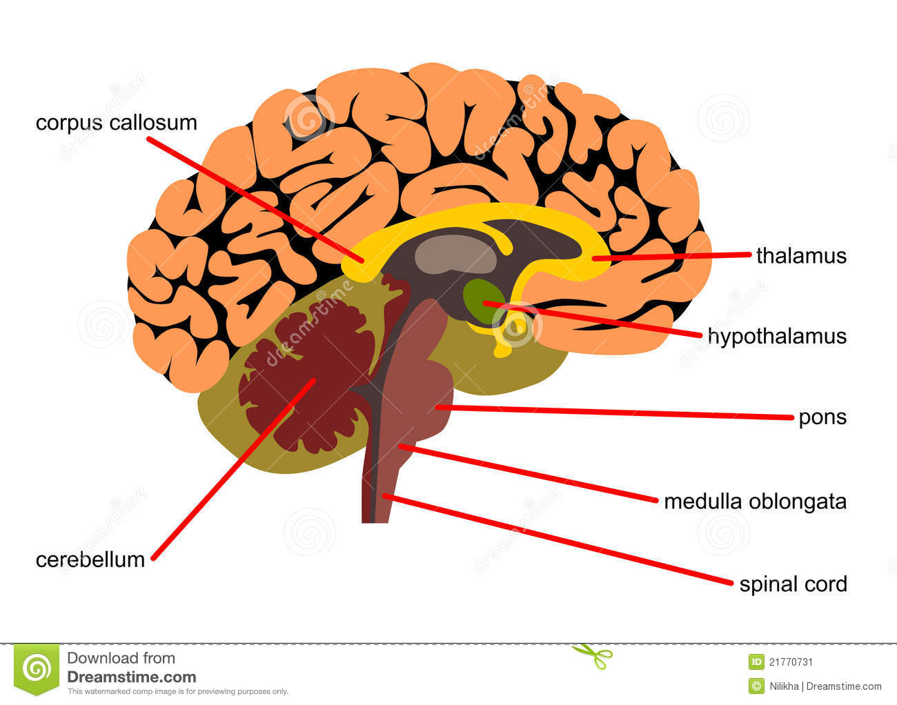 Side View Of Human Brain Diagram - Auto Wiring Diagram Today •