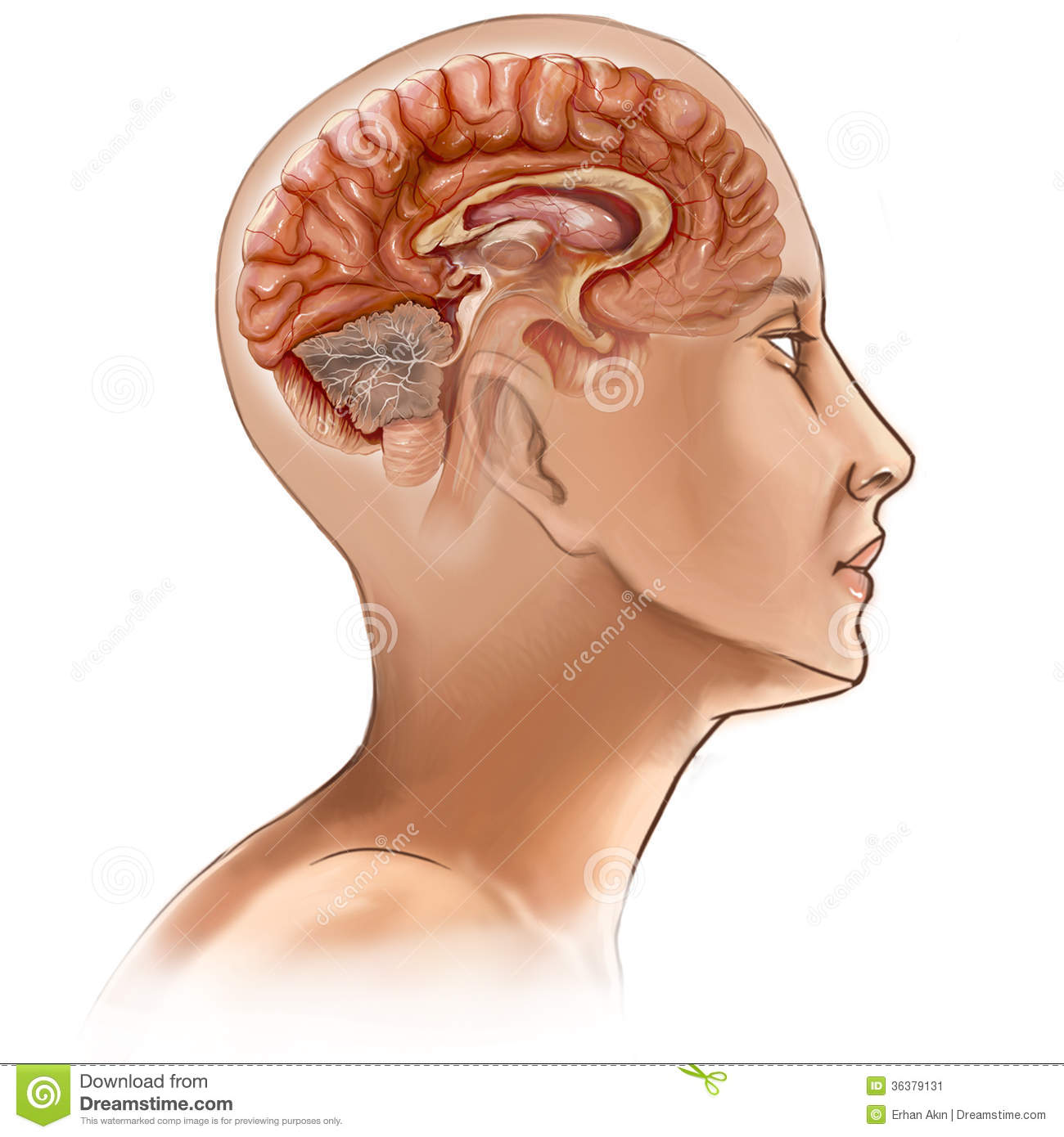 Csf Productioncirculation Absorption further Stock Image Brain Sectional Drawing Person Image36379131 further Royalty Free Stock Image Male Human Circulatory System Blood Circulation White Background Part Medical Series Image32493676 as well Hydroxycut Hardcore Next Gen Muscletech 96434 moreover Seizure Ppt Etc. on brain and circulatory