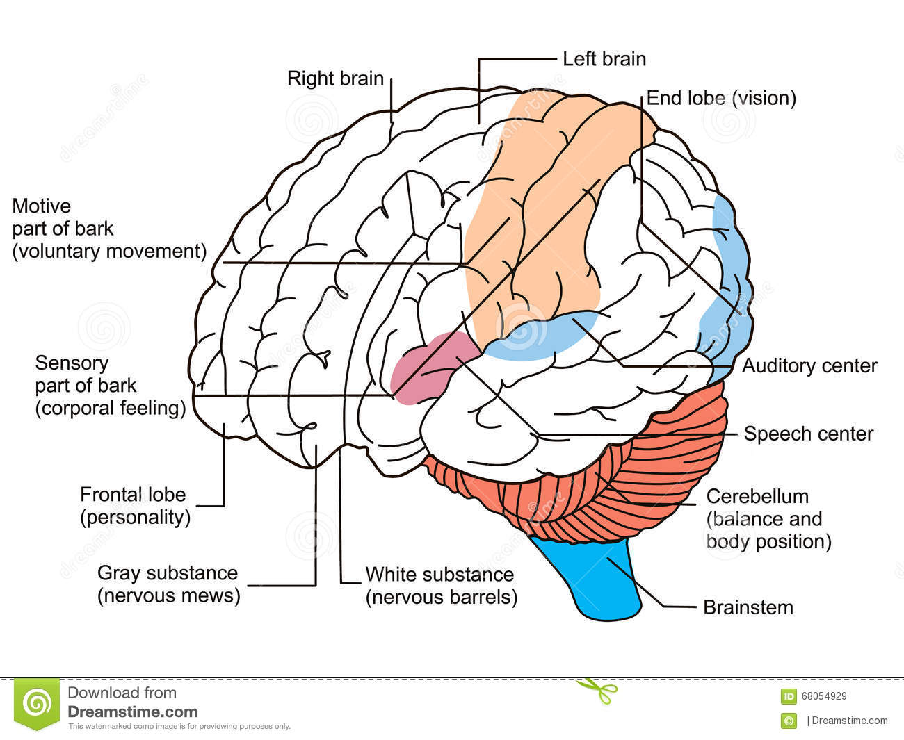 Brain Sections Diagram Stock Illustration - Image: 68054929