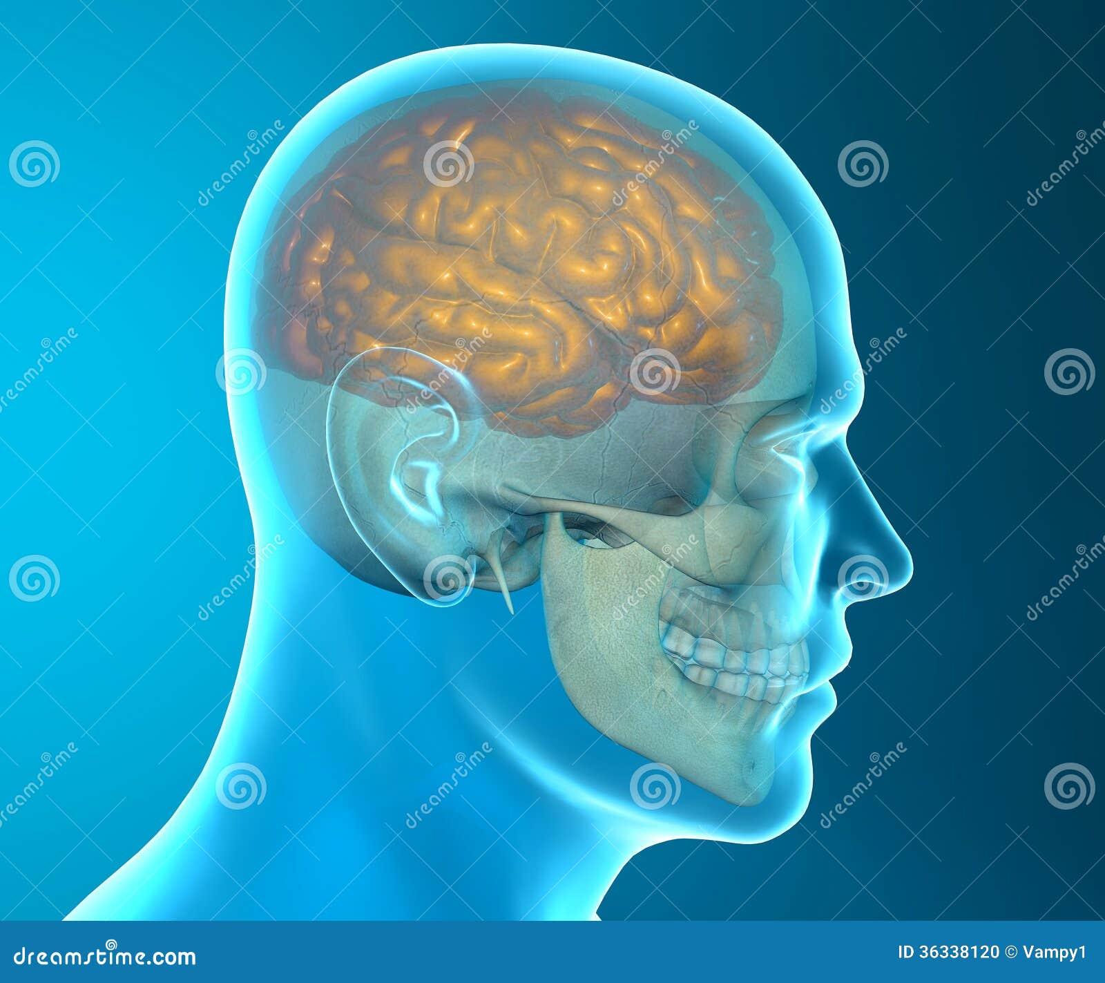 Brain Skull X-ray Head Anatomy Stock Illustration - Illustration of ...