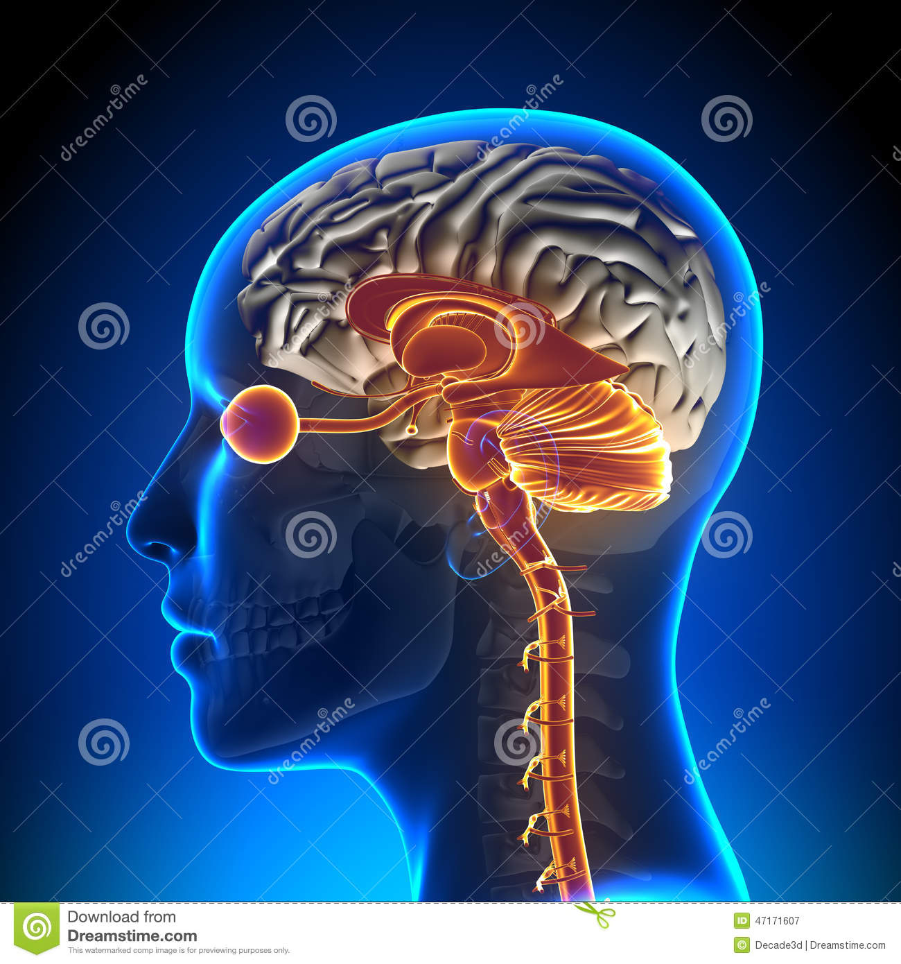 Brain Stem / Cerebellum / Optical Nerve / Female Brain Anatomy Stock ...