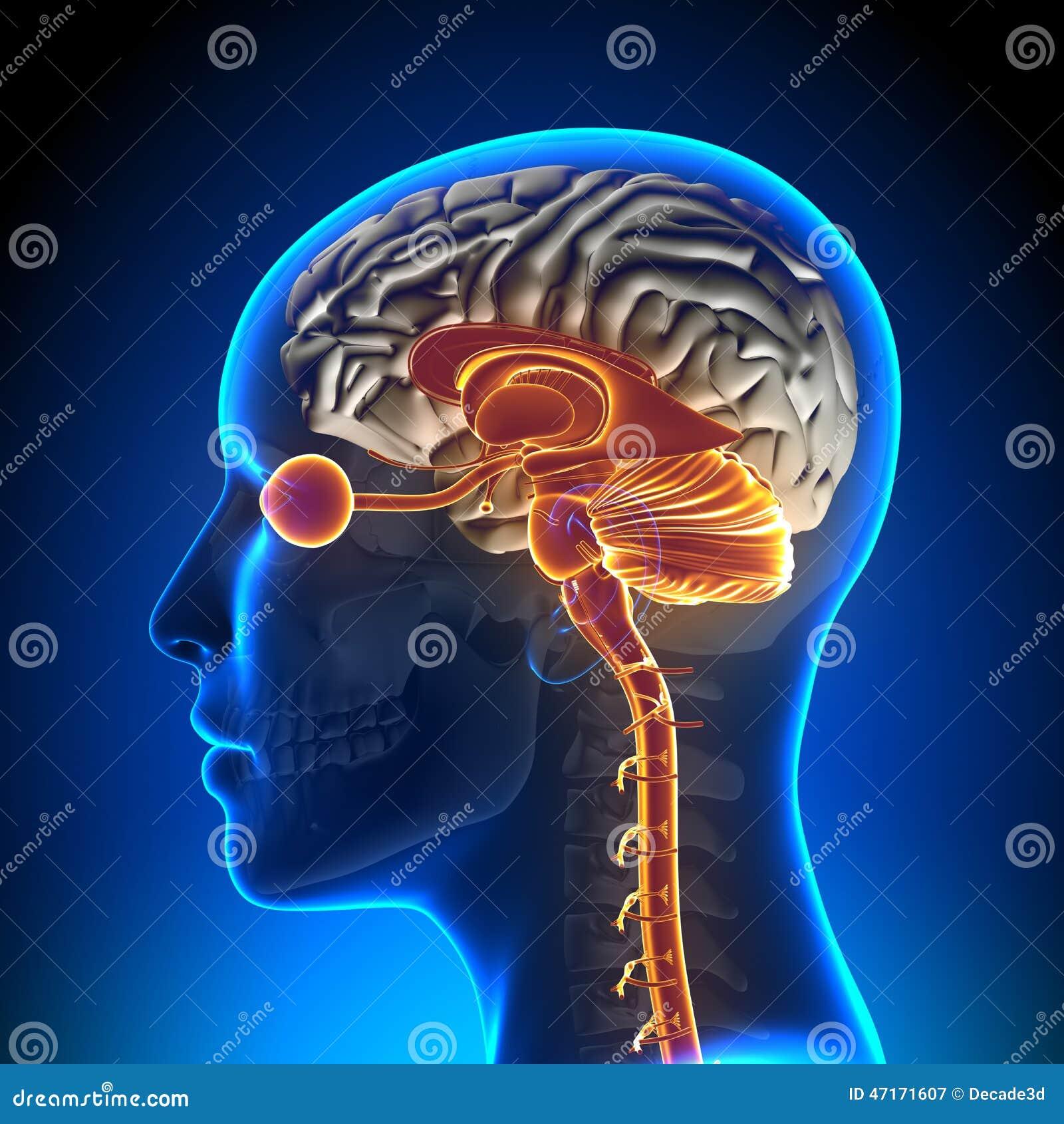 Brain Stem/Kleinhirn/optischer Nerv/weiblicher Brain Anatomy Stock ...