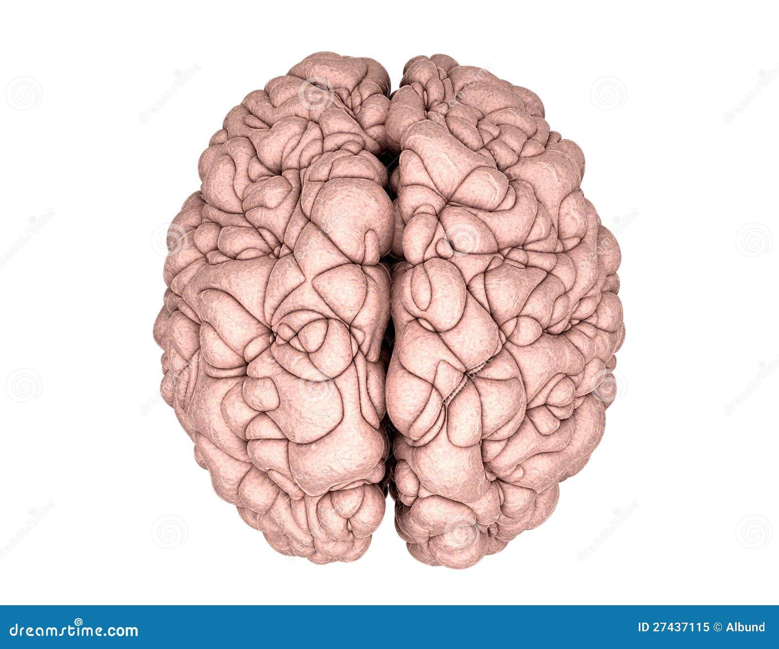 brain top view vector - photo #8