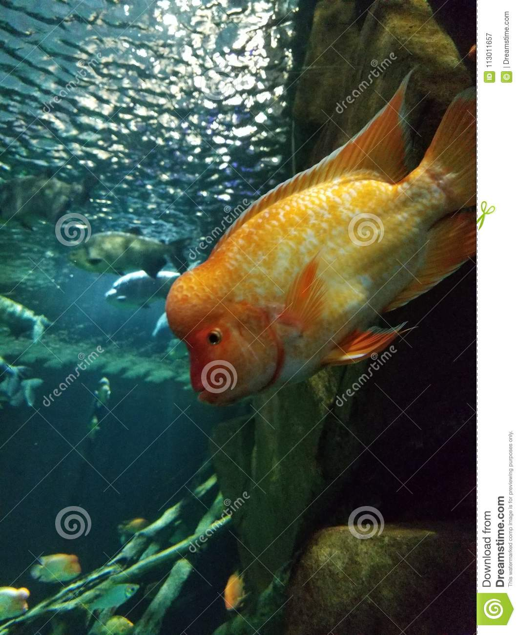 Brainy Fish Stock Image Image Of Aquarium Brainy Water 113011657