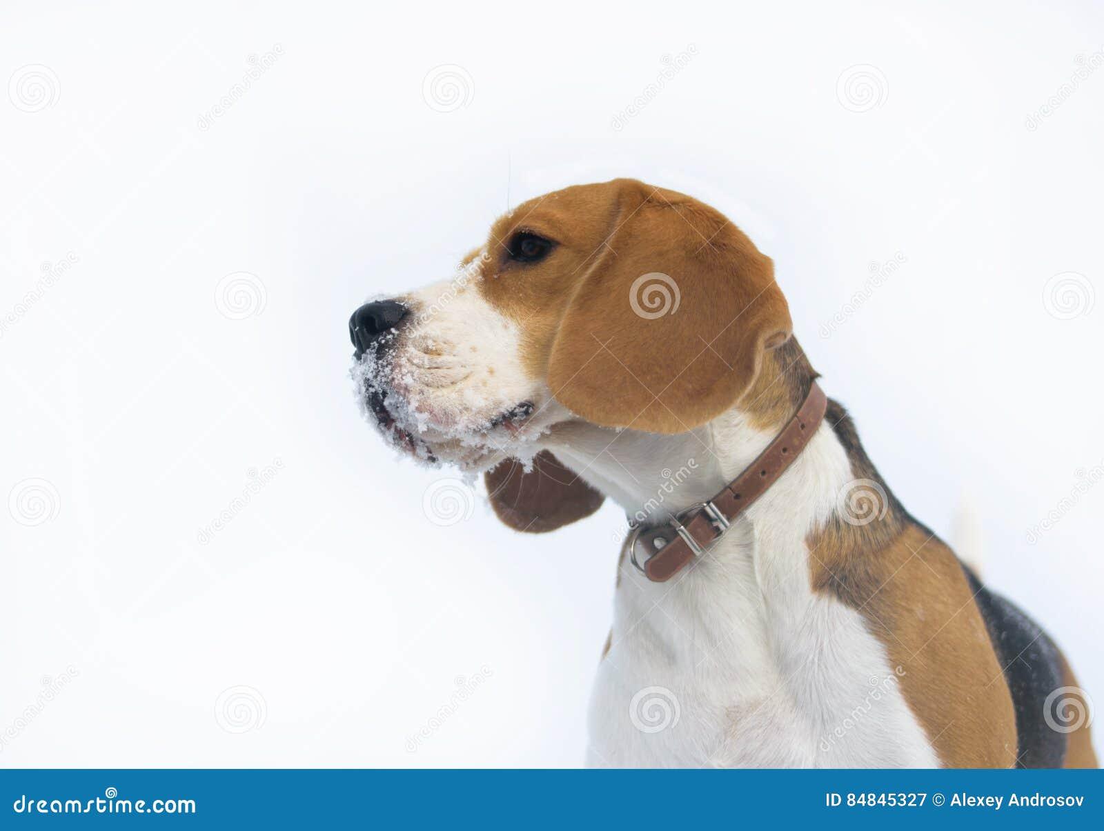 Brakhond die in de sneeuw lopen
