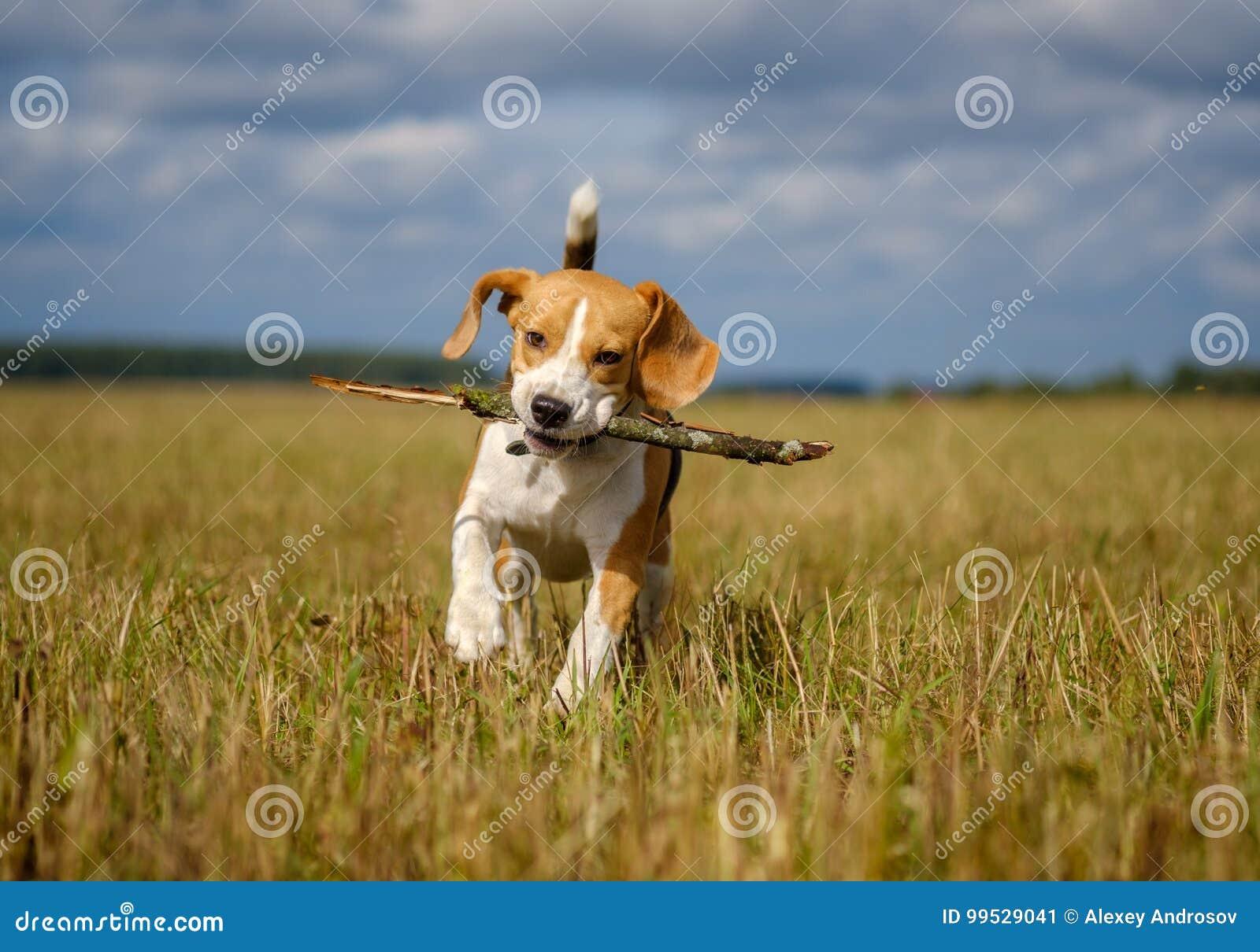 Brakhond die rond en met een stok lopen spelen